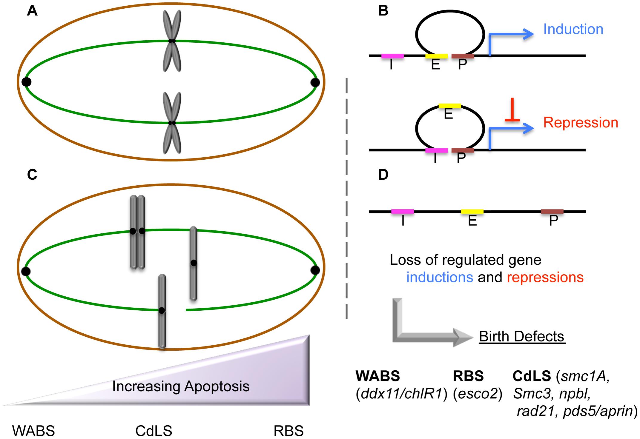 Etiologic and peripheral phenotypes of cohesinopathies.
