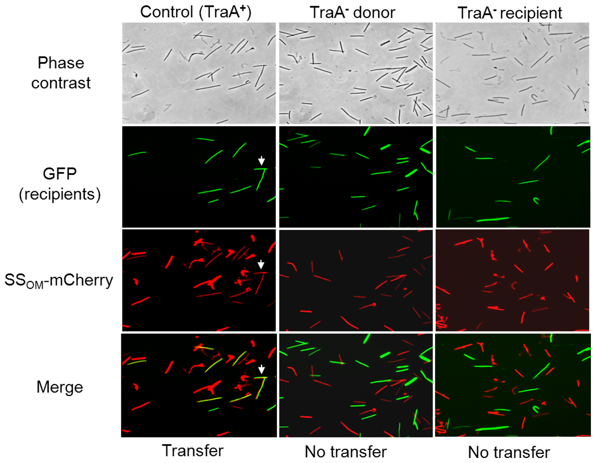 SS<sub>OM</sub>-mCherry transfer requires TraA.