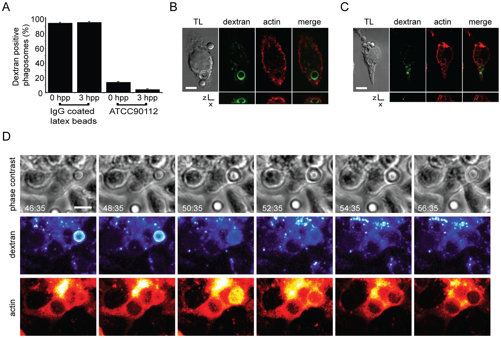 Actin flashes immediately follow rapid permeabilisation of phagosomes containing <i>Cryptococcus</i>.