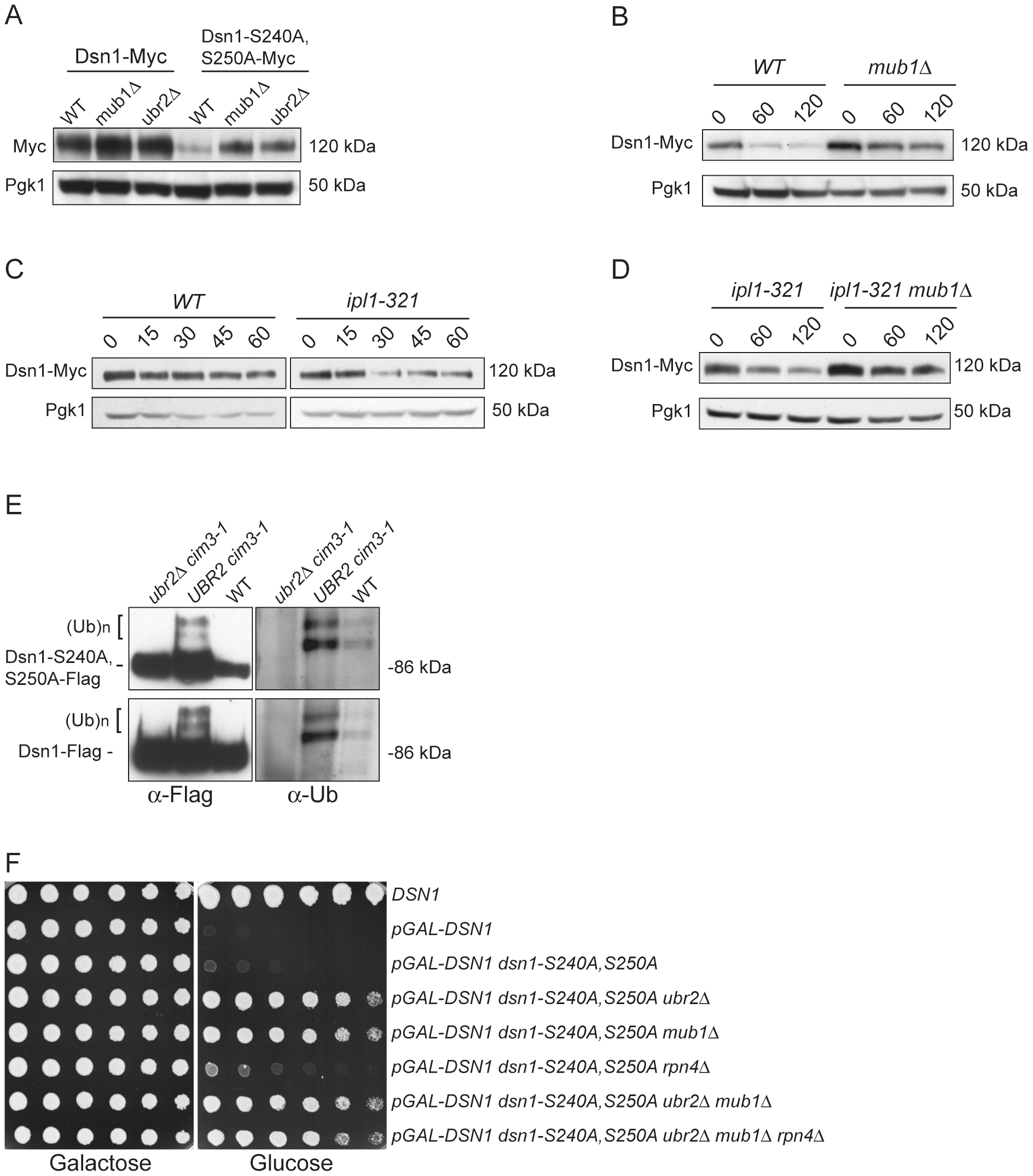 Mub1/Ubr2 mediate Dsn1 ubiquitylation and regulate protein levels.