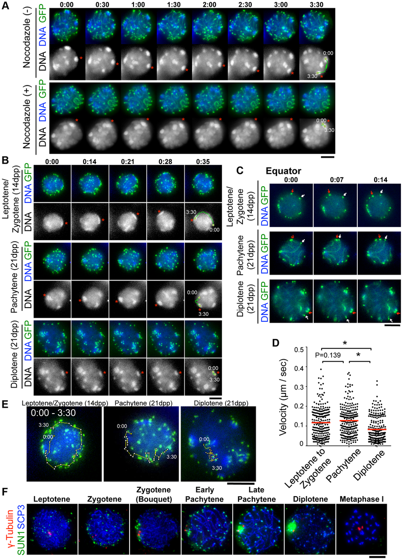Visualization of stage-specific chromosome movement in live spermatocytes.
