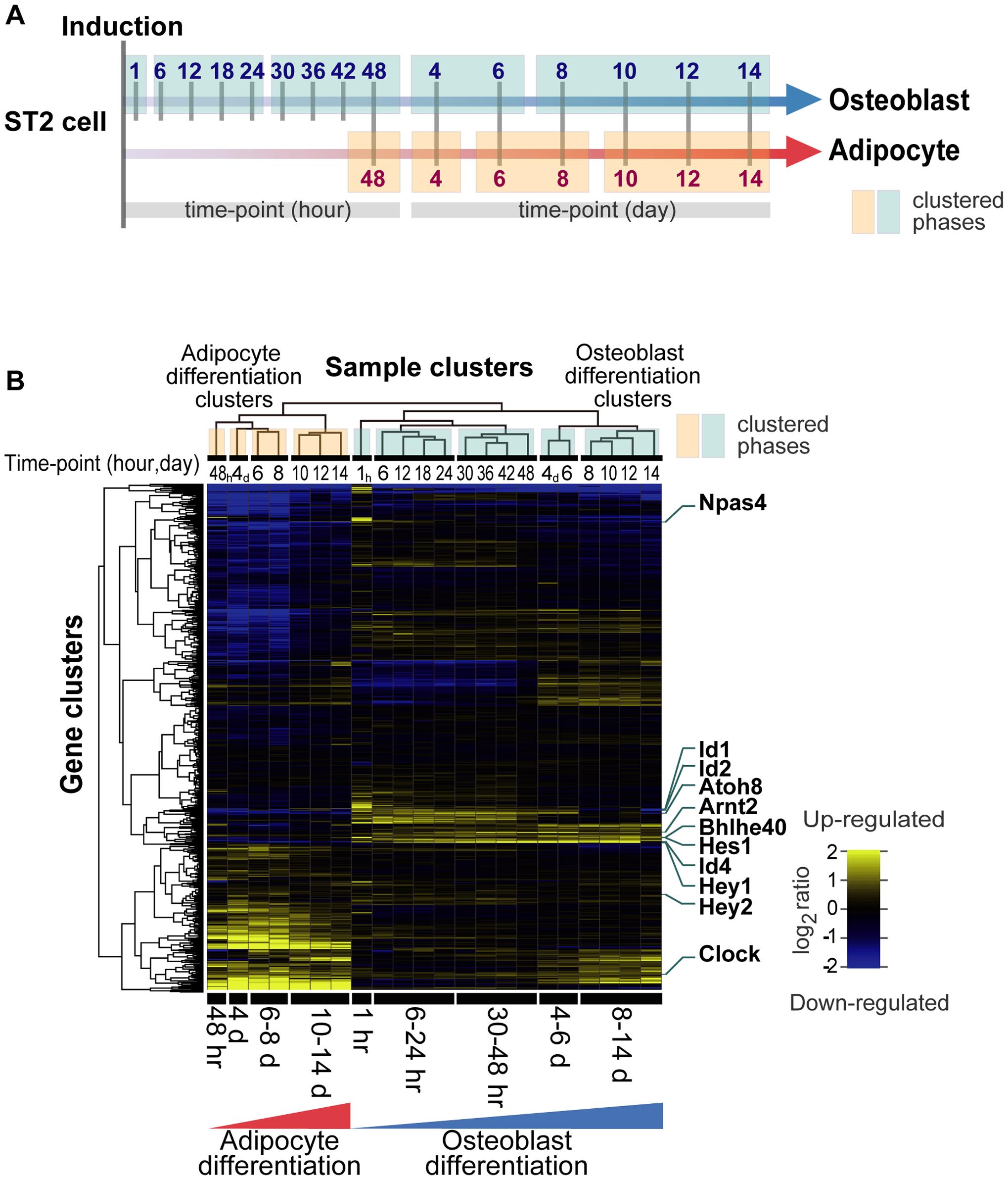 Transcription factor gene expression framework of differentiating ST2 cells.