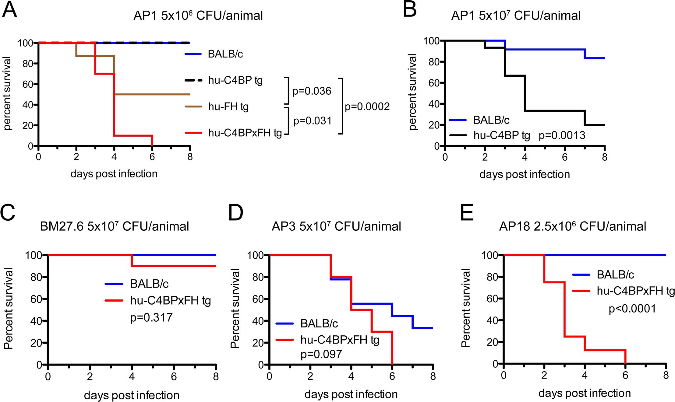 Human complement inhibitors worsen GAS AP1 infection.