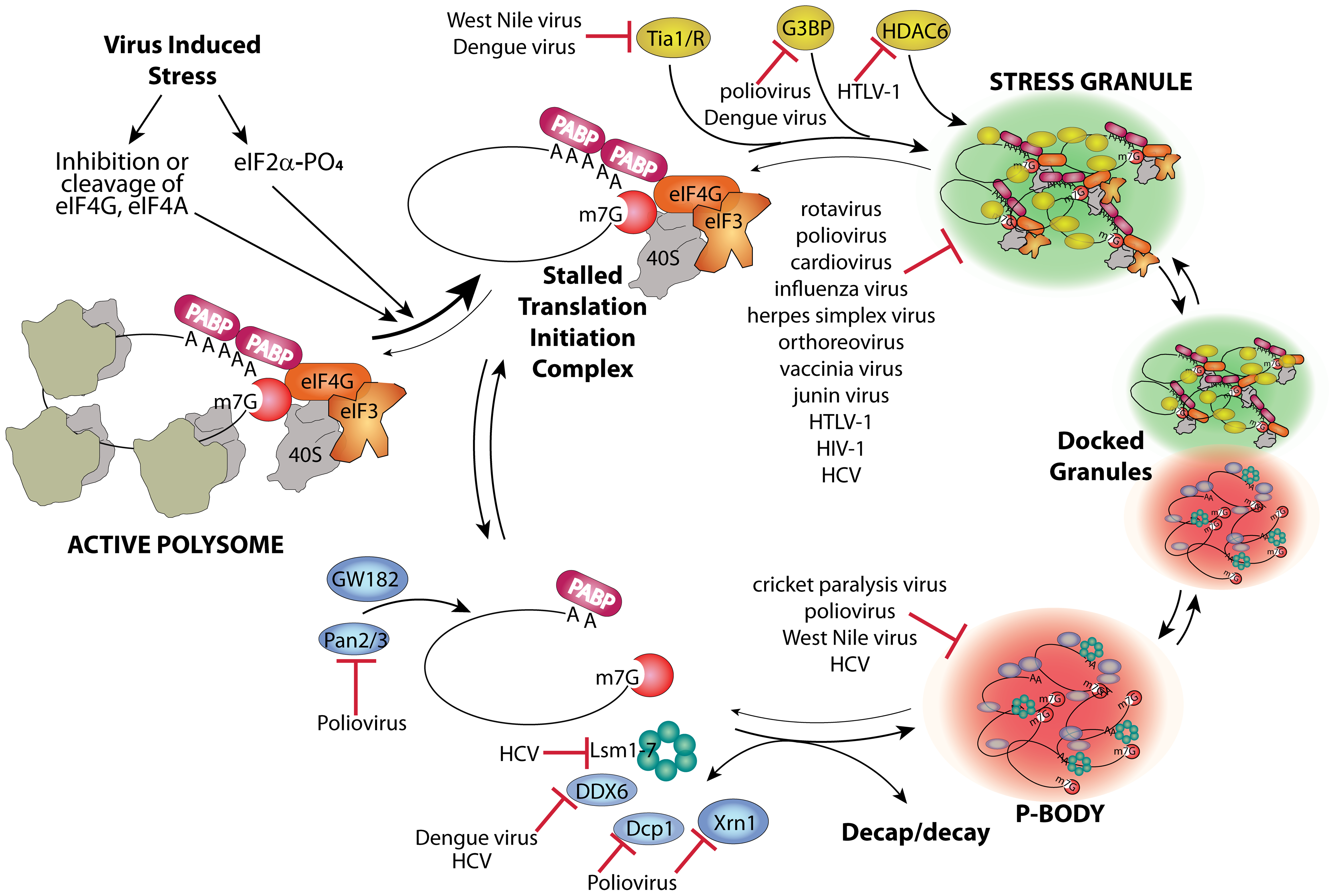 Stress granule and P-body assembly and interference by viruses.
