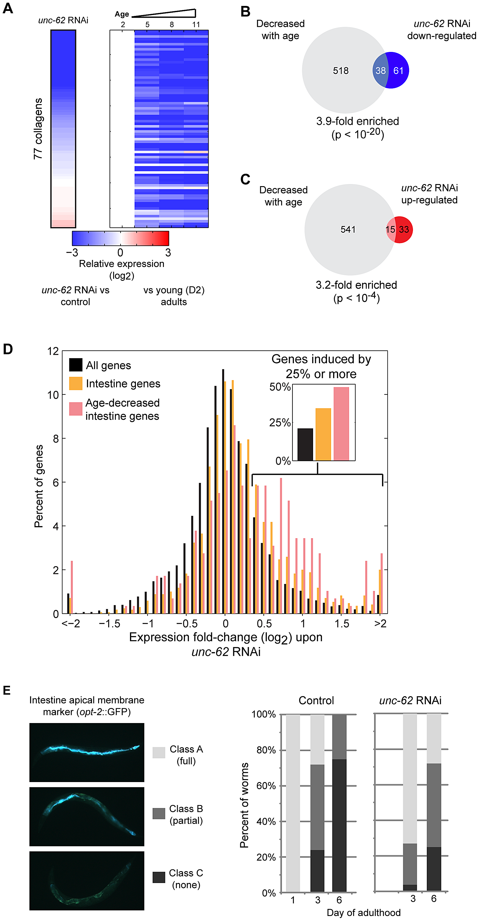 UNC-62 RNAi decreases expression of collagen genes and increases expression of intestinal genes.