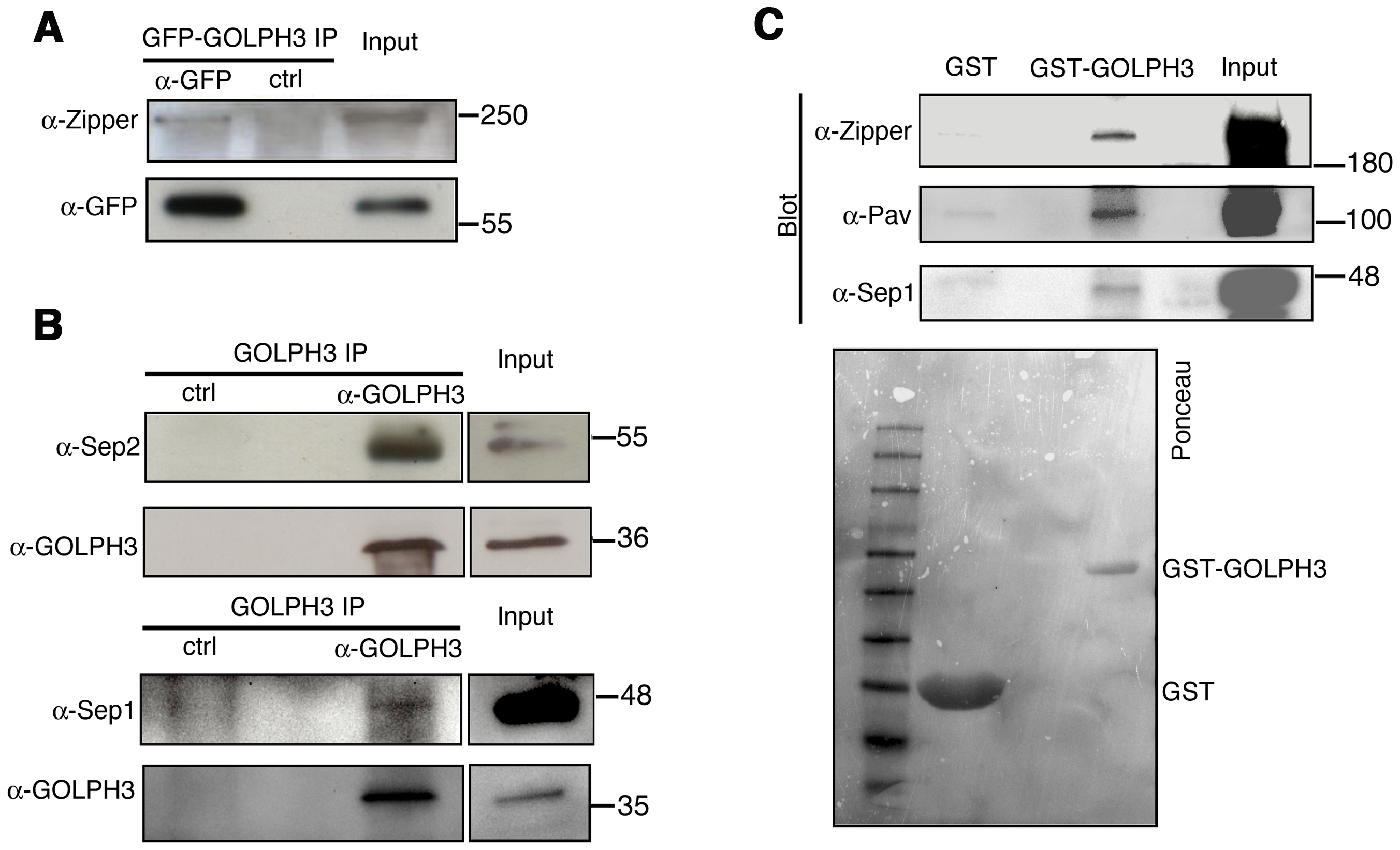 GOLPH3 protein interacts with both cytokinetic proteins in testis extracts.