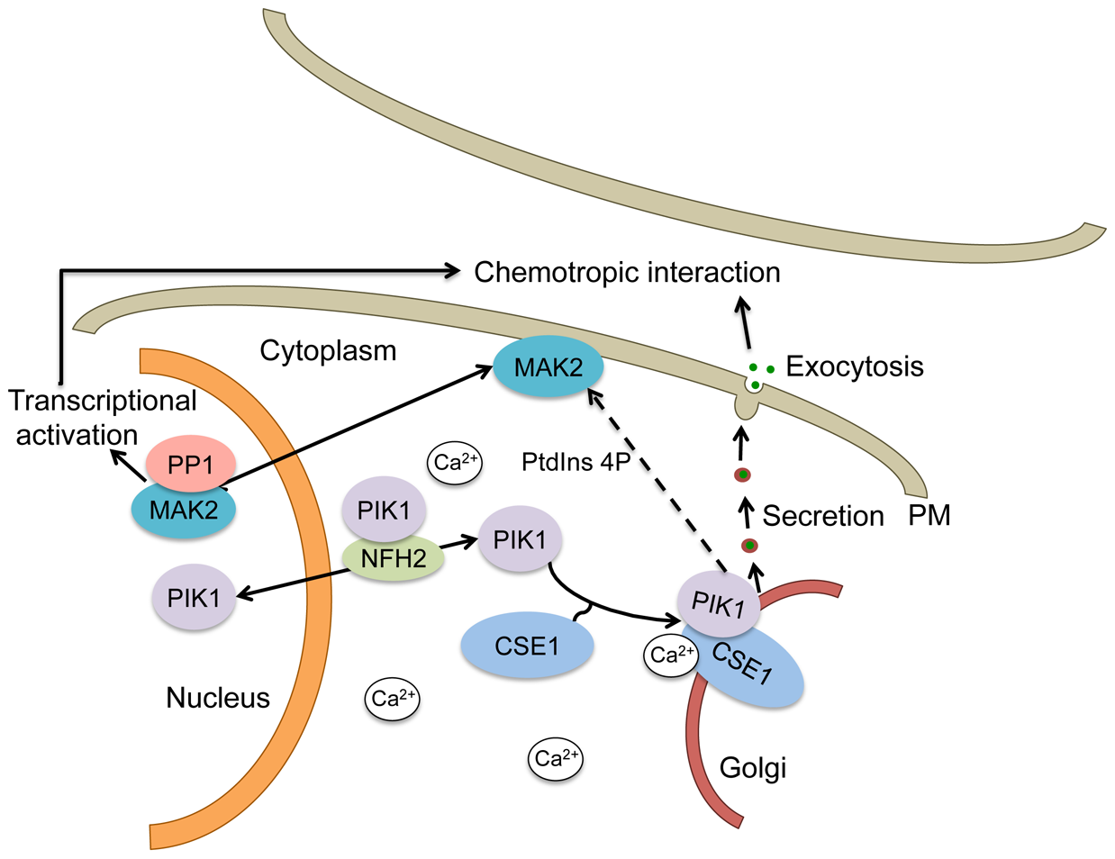 Schematic of a mechanistic model for the regulation of secretion by CSE1, PIK1 and NFH2 during germling chemotropic interactions and cell fusion.