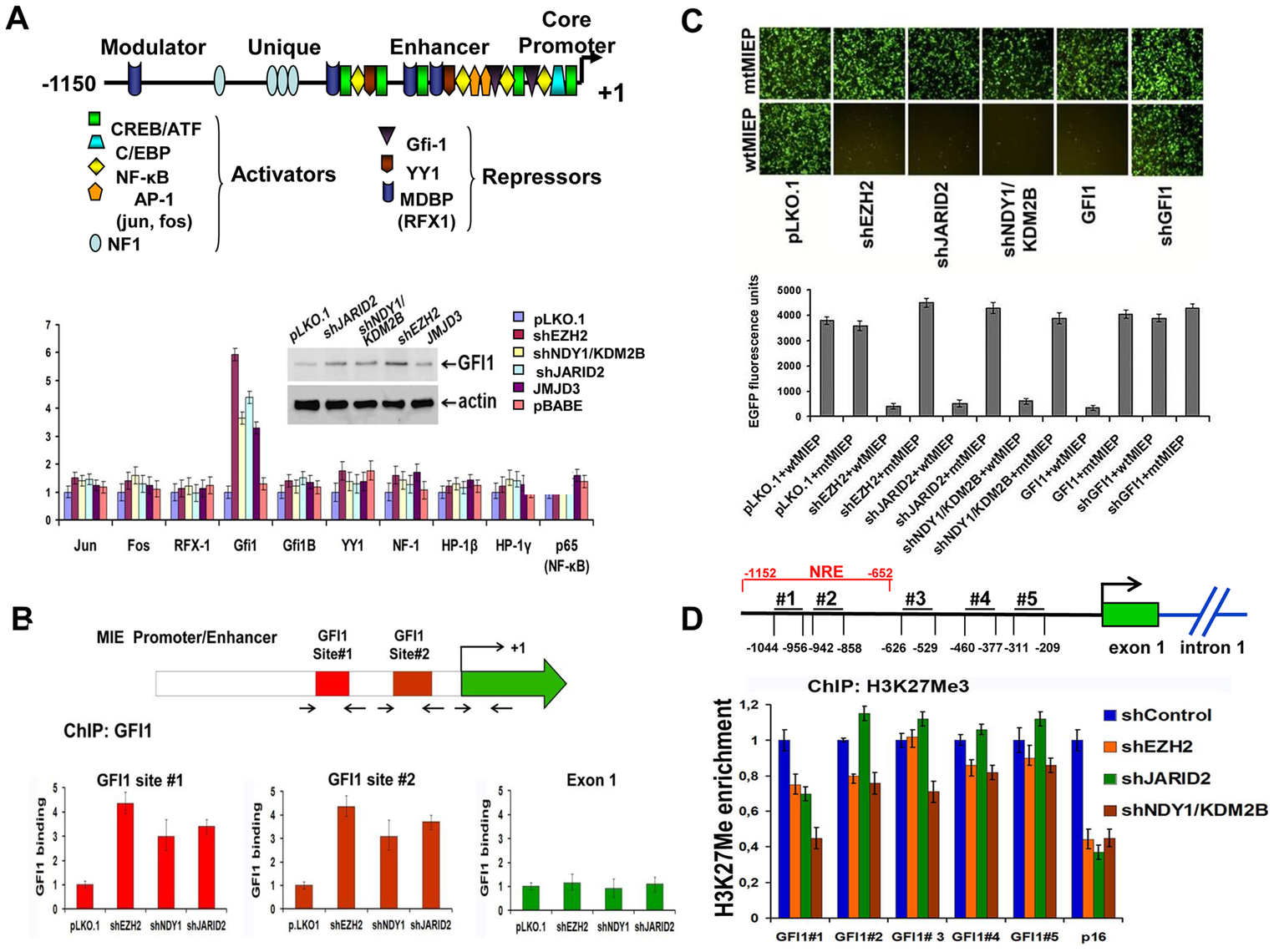 NDY1/KDM2B, EZH2 JARID2 and JMJD3 control the expression of GFI1, a direct repressor of the HCMV MIEP, by regulating histone H3K27 tri-methylation in the GFI1 promoter.