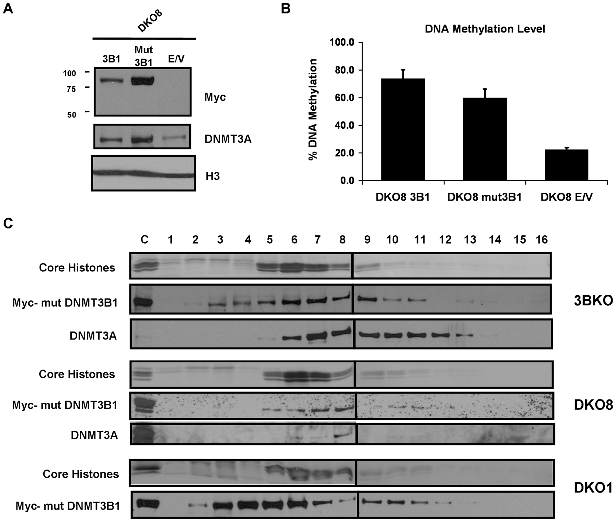DNMT3B catalytically-inactive mutant stimulates DNA methylation by increasing DNMT3A binding to nucleosomes.