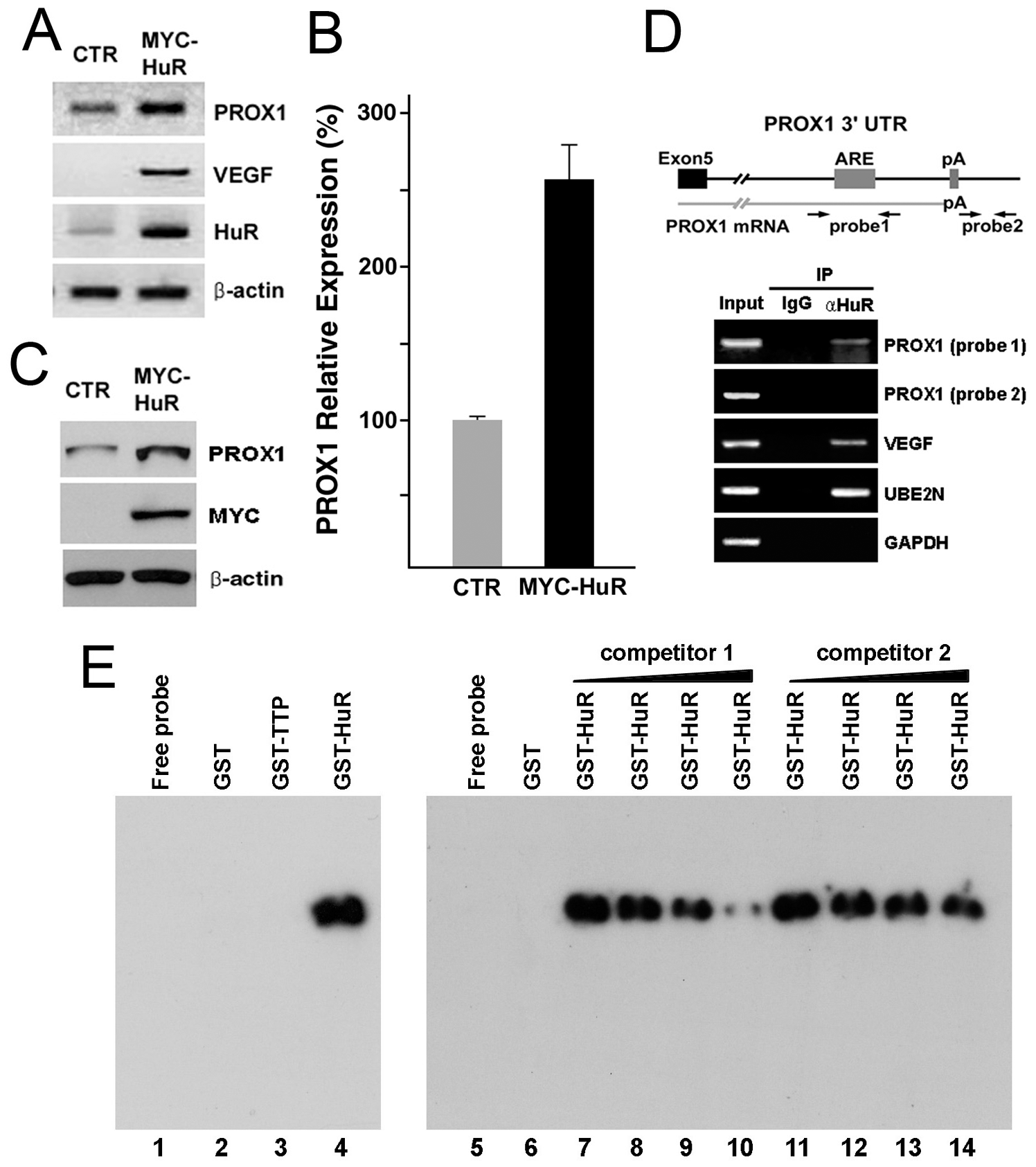 HuR upregulates PROX1-expression through physical interaction with the 3′-UTR of PROX1 mRNA.