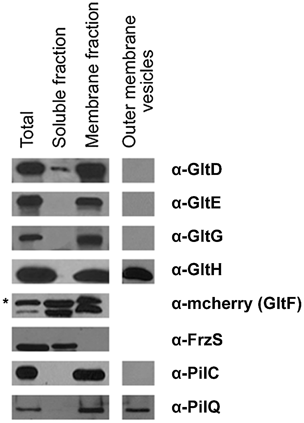Envelope localization of the Glt proteins.