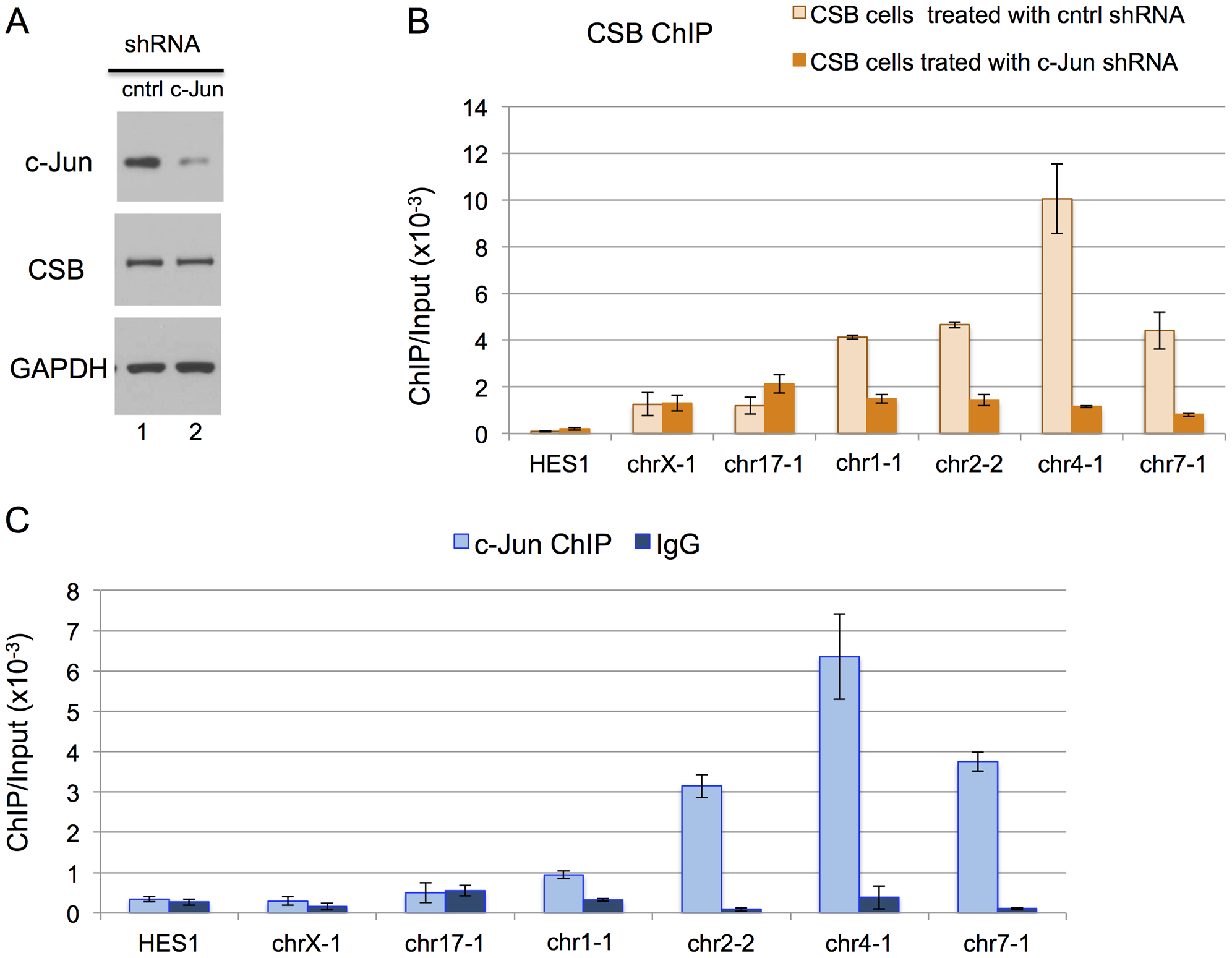 c-Jun is critical for targeting CSB to genomic regions containing the TPA-response element.
