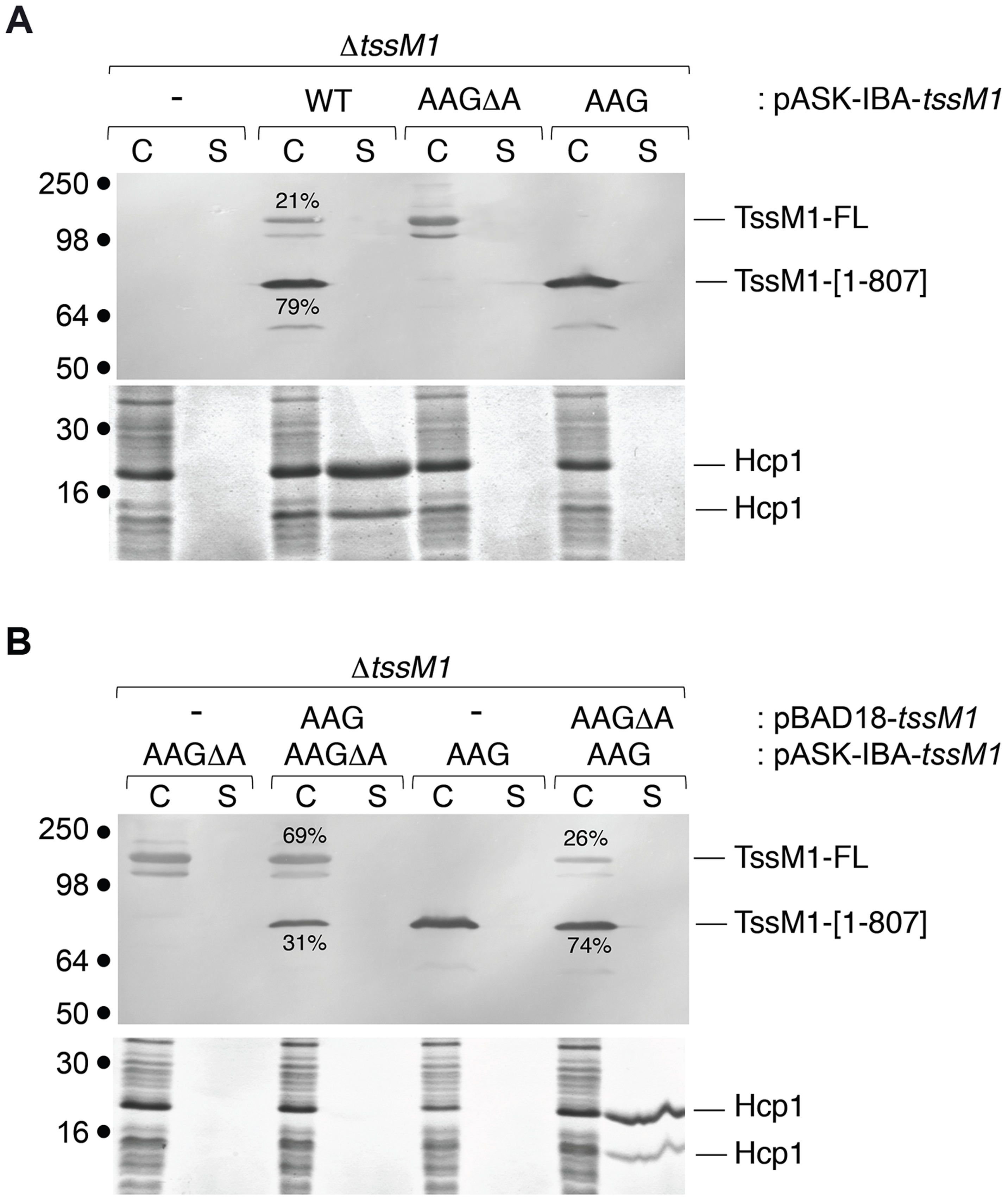 The ratio between the two TssM1 variants is critical for CTS1 T6SS function.