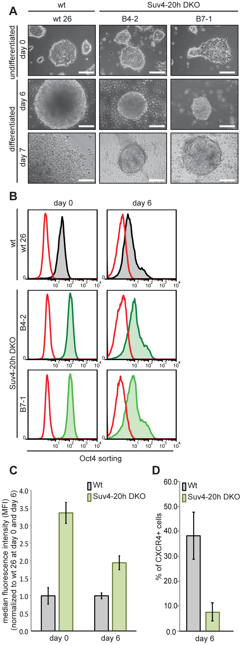 Suv4-20h double-null ES cells have elevated Oct4 and lower CXCR4 protein levels before and during differentiation.