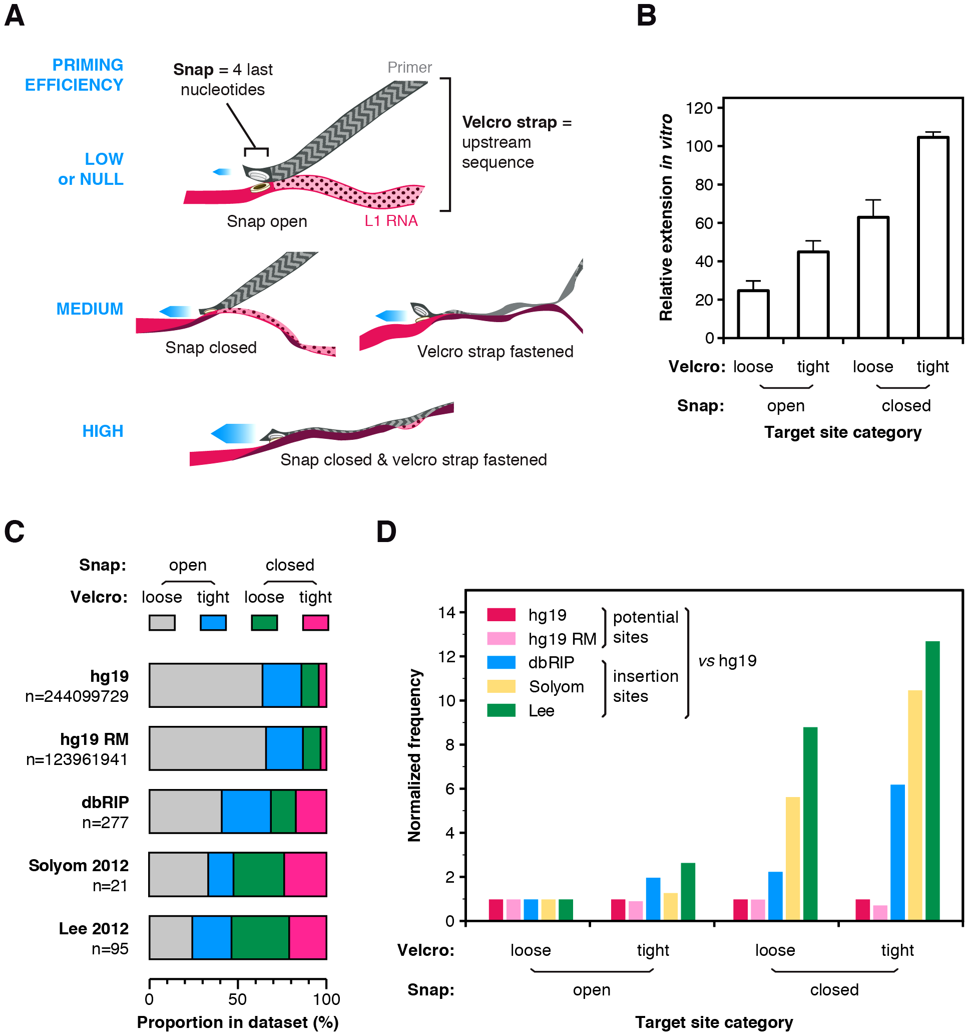 The snap-velcro model and supporting biochemical and genomic evidence.