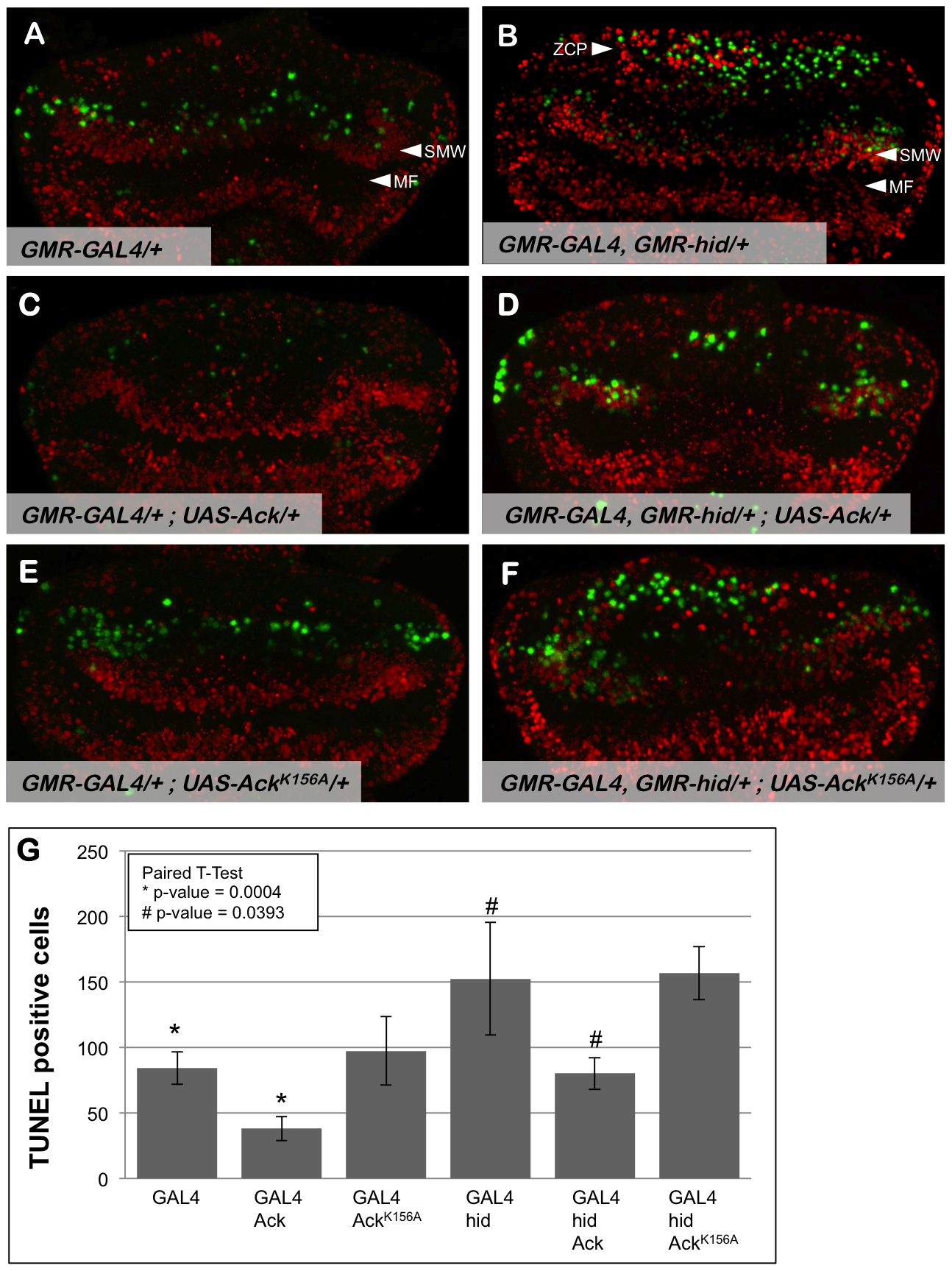 Ack expression produces fewer TUNEL positive cells.