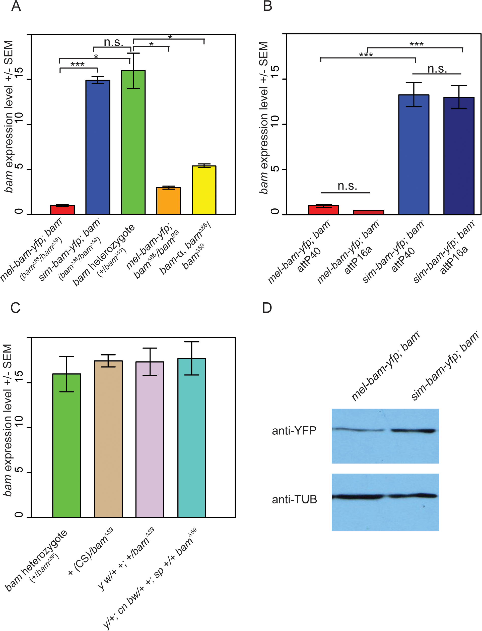 Analysis of <i>bam</i> RNA and protein expression in transgenic lines and control strains.