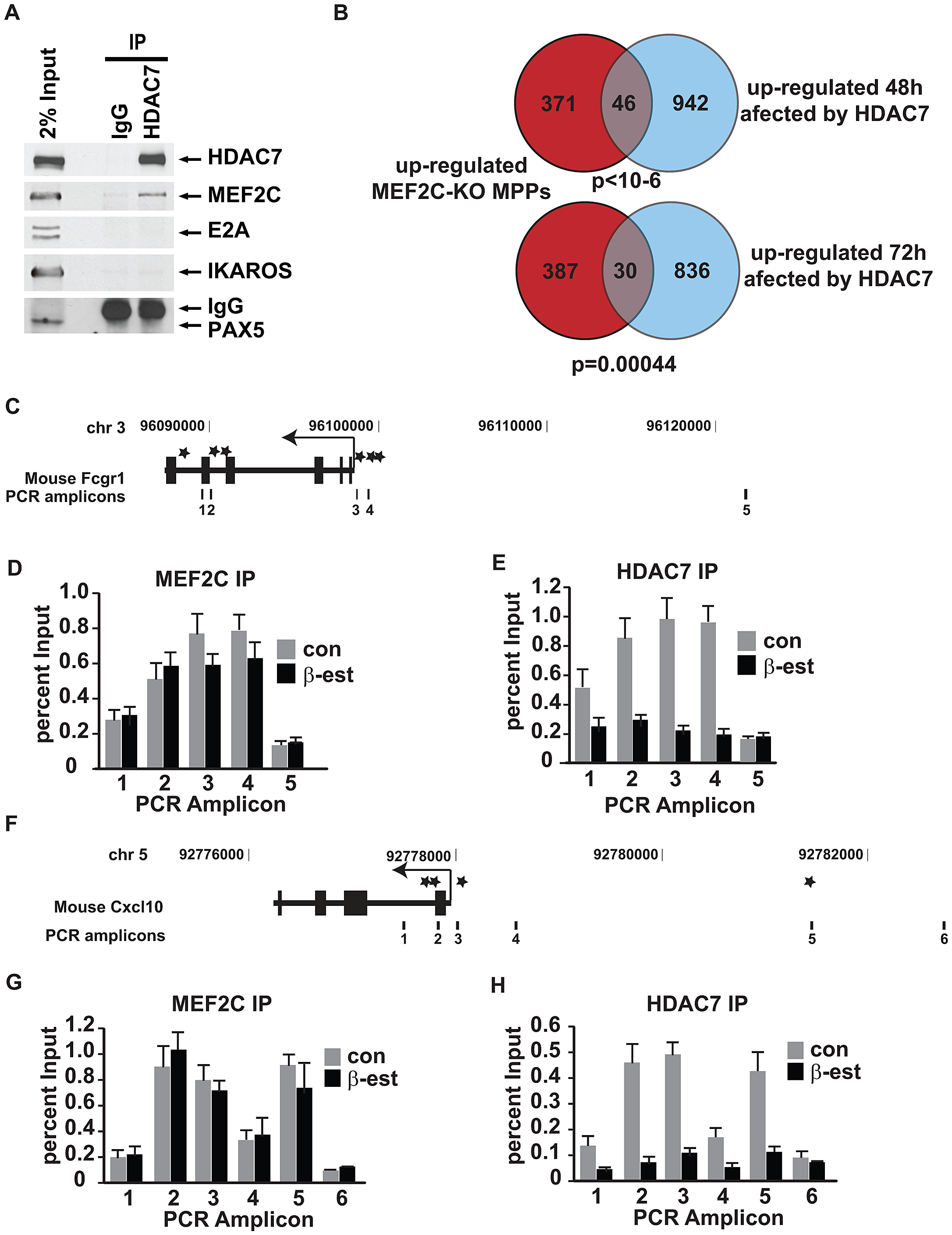 HDAC7 binds to the transcription factor MEF2C and is recruited to the promoter of key genes for macrophage function in pre-B cells.