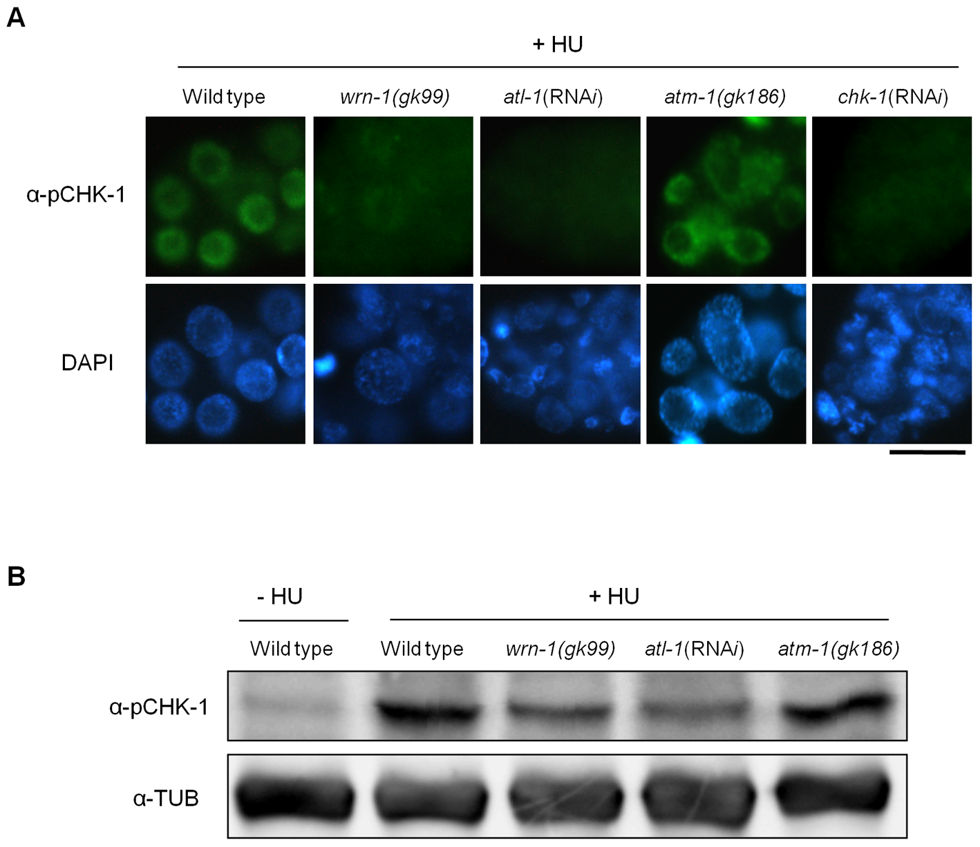 WRN-1 is required for the phosphorylation of CHK-1(S345) induced by inhibition of DNA replication.