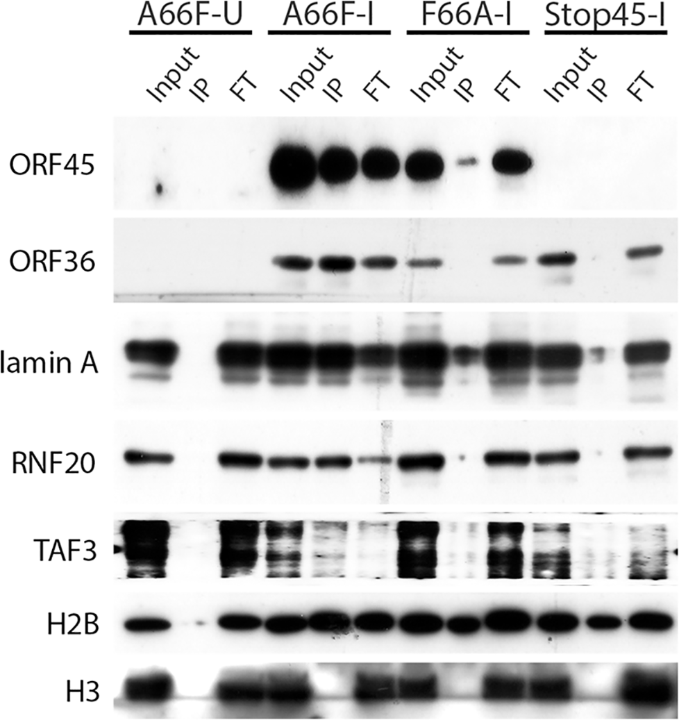 Nuclear IP further validated ORF45/RSK-dependent phosphorylation of a subset of substrates.