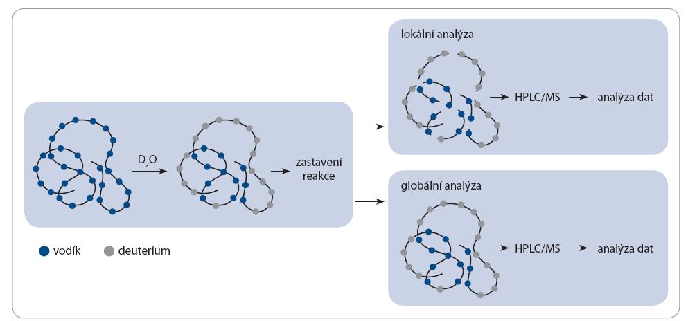 H/D výměna – globální a lokální analýza.