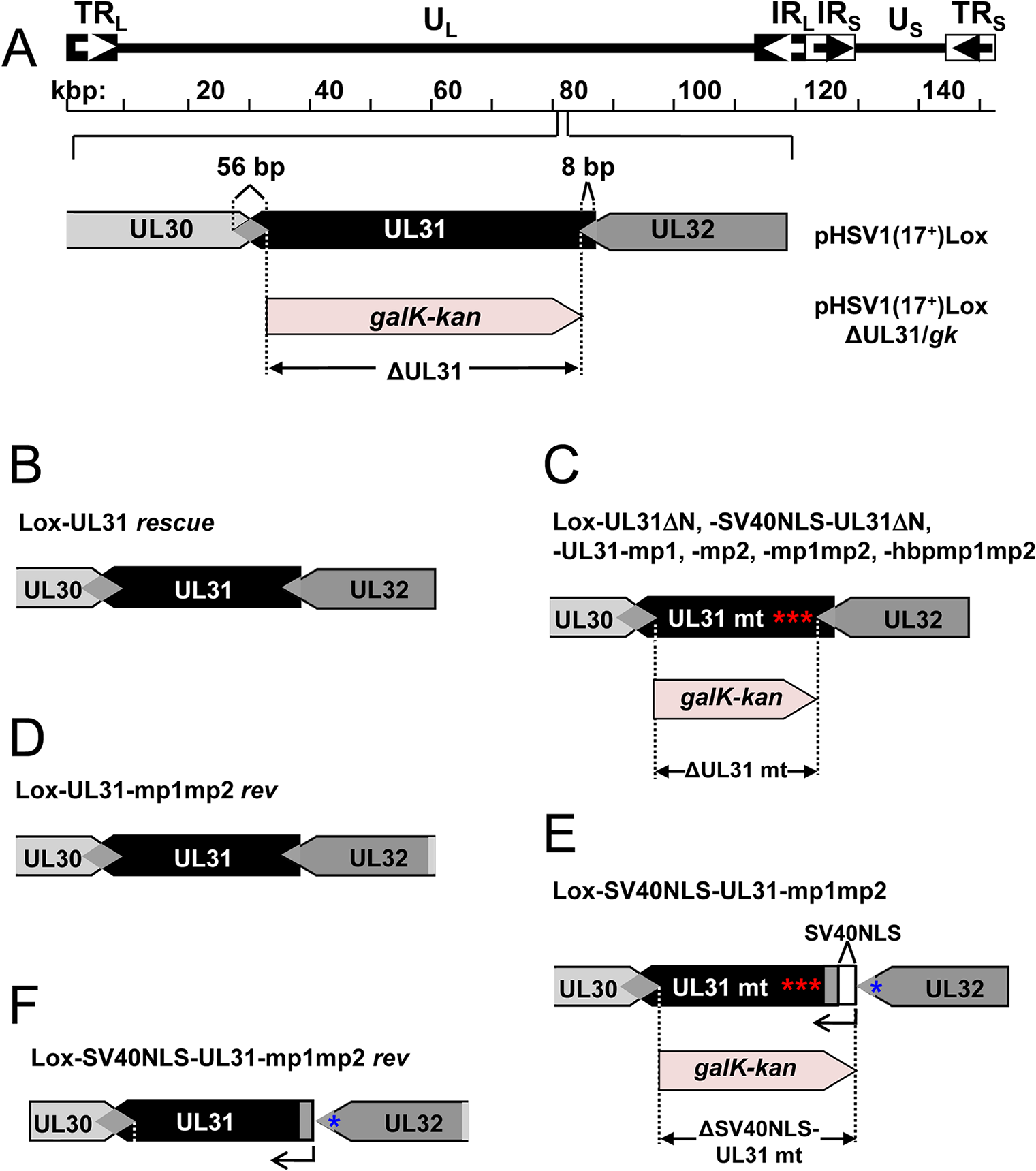 Functional analysis of the N-terminal domain of pUL31.