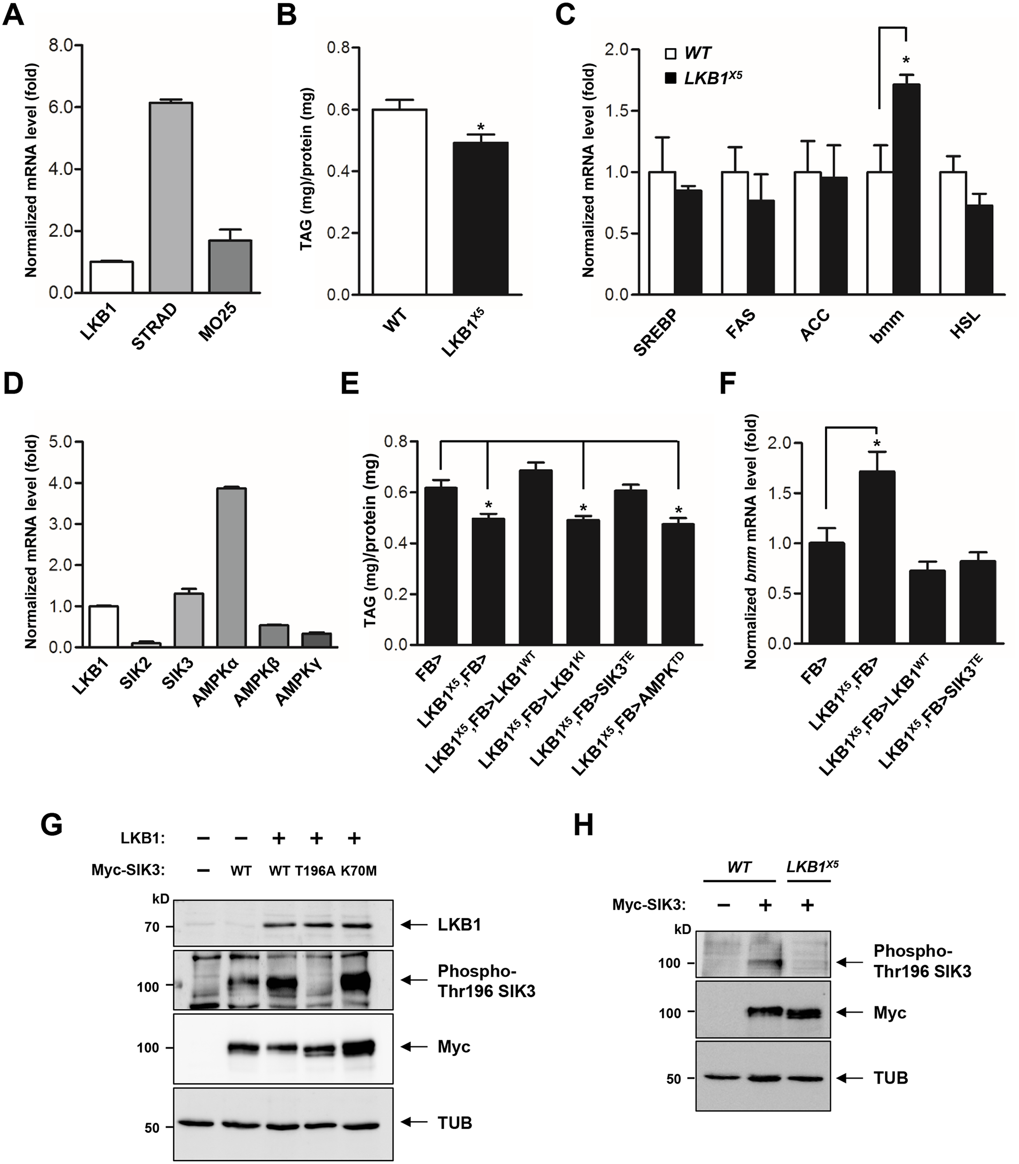 LKB1 and its downstream kinase SIK3 are required for lipid homeostasis.