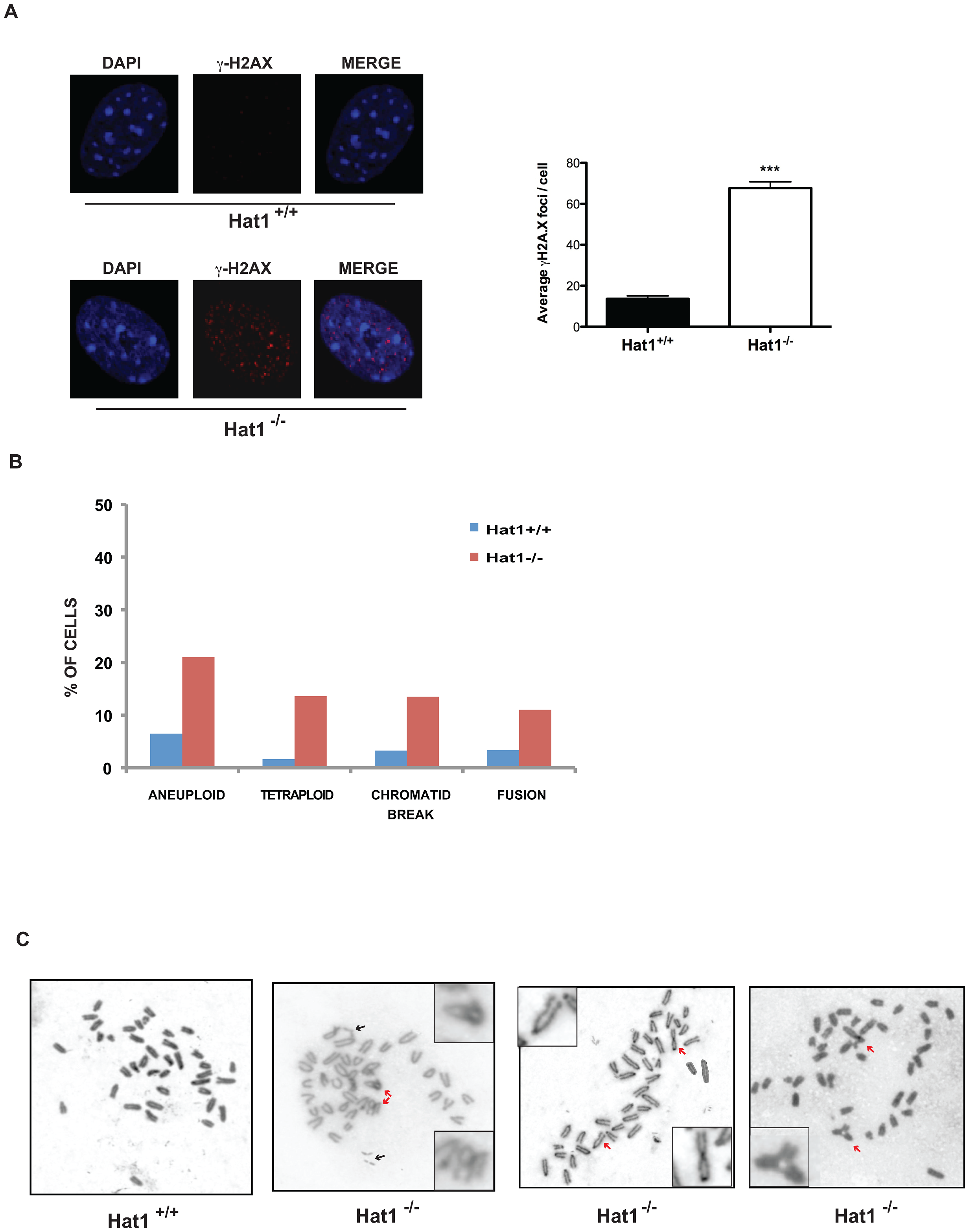 Hat1 is essential for maintaining genome stability.