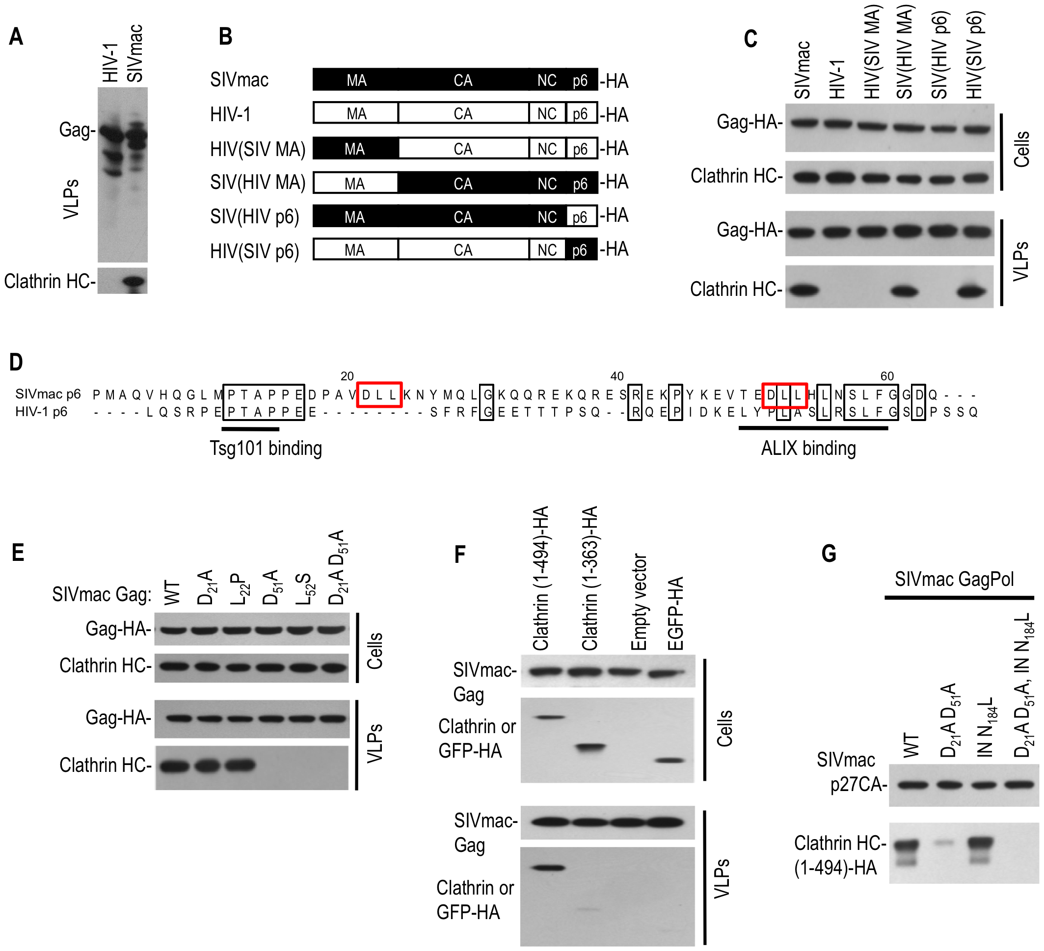 Clathrin is recruited into SIVmac particles by Gag (p6) with a minor contribution from Pol.