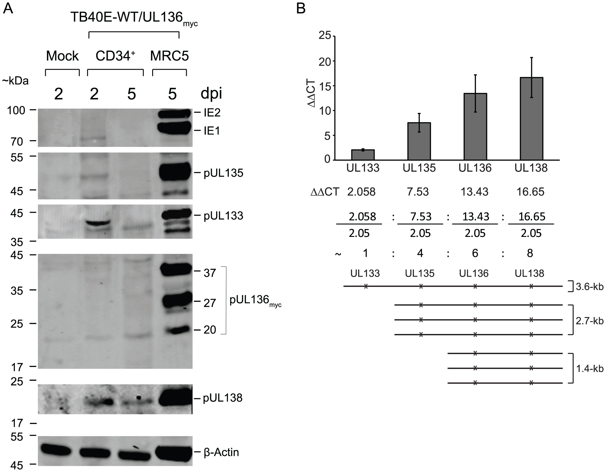 <i>UL133-UL138</i> locus expression in CD34<sup>+</sup> HPCs.
