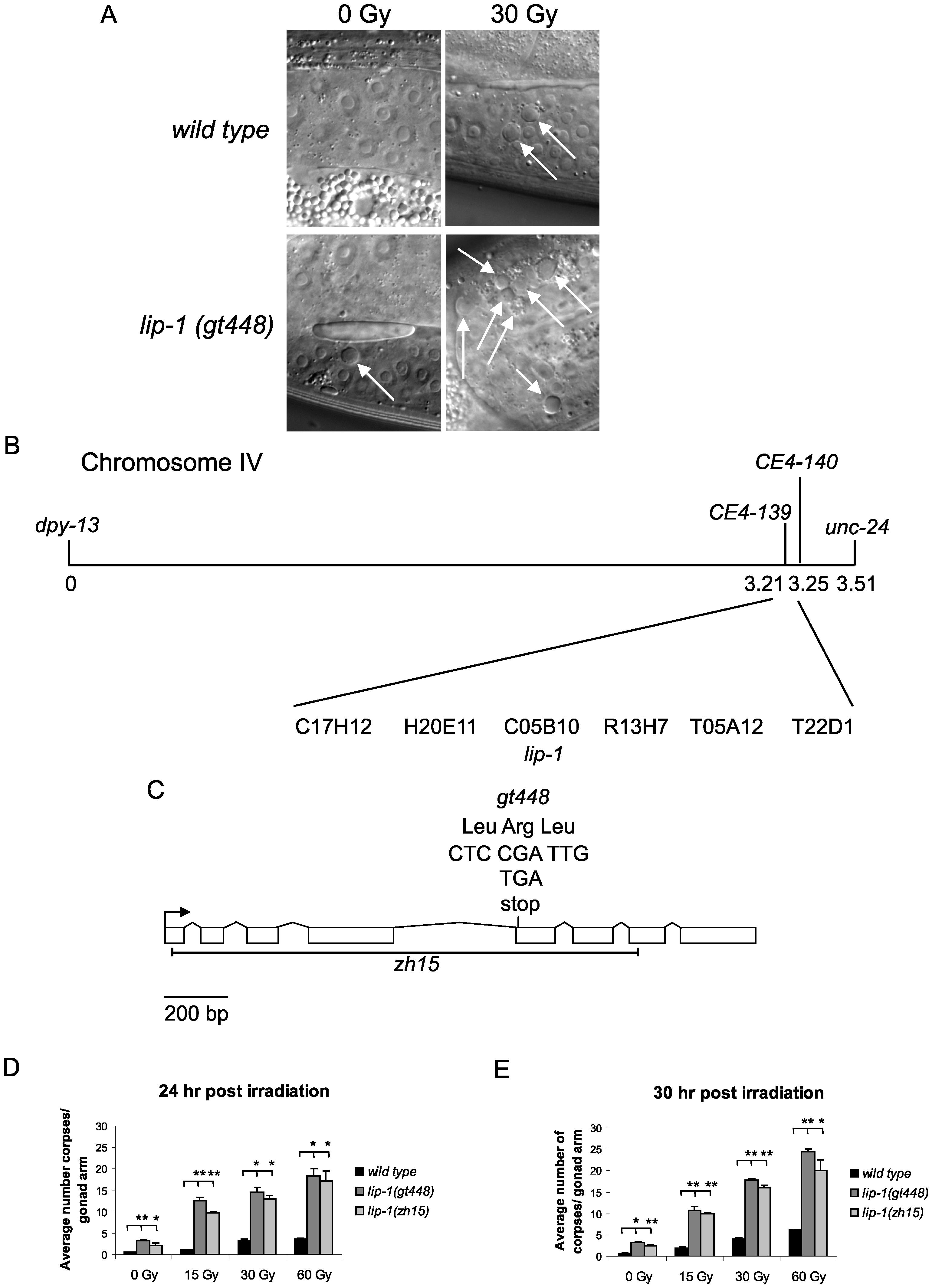 <i>gt448</i> is an allele of <i>lip-1</i>.