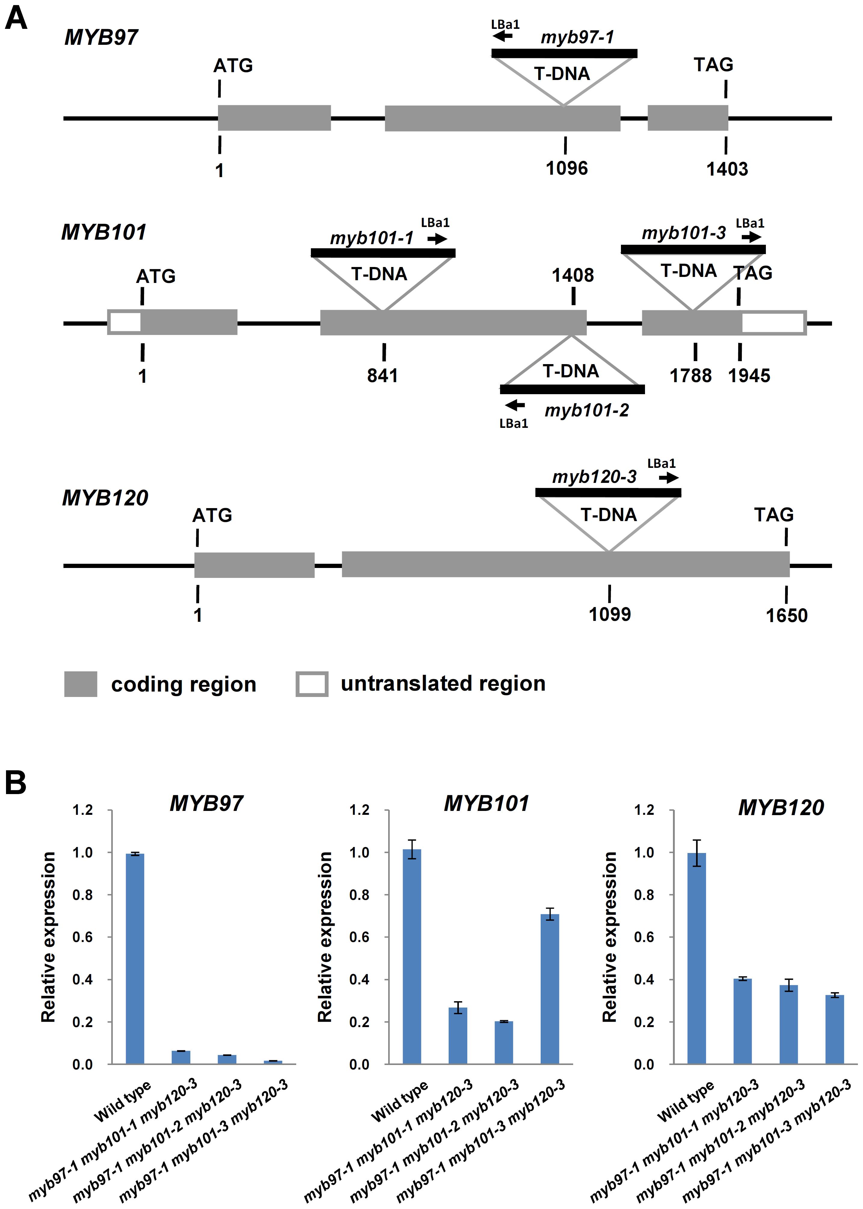 Molecular characterization of <i>myb97</i>, <i>myb101</i> and <i>myb120</i> mutants.