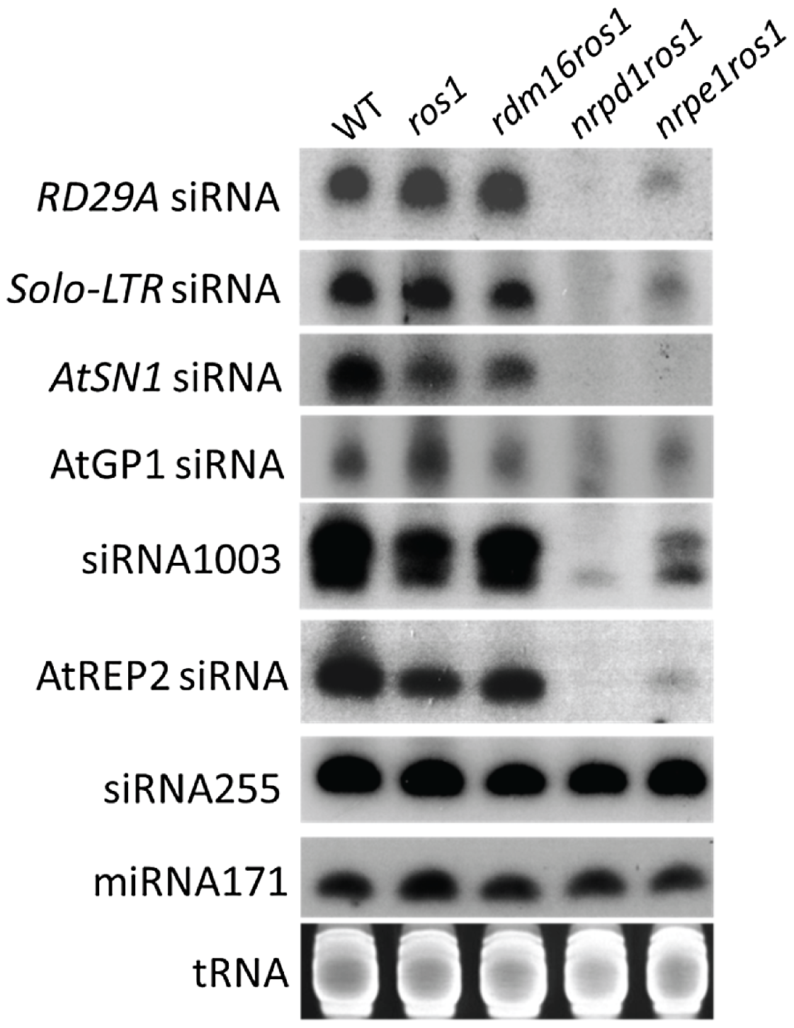 siRNA accumulation was not affected by the mutation of <i>RDM16</i>.