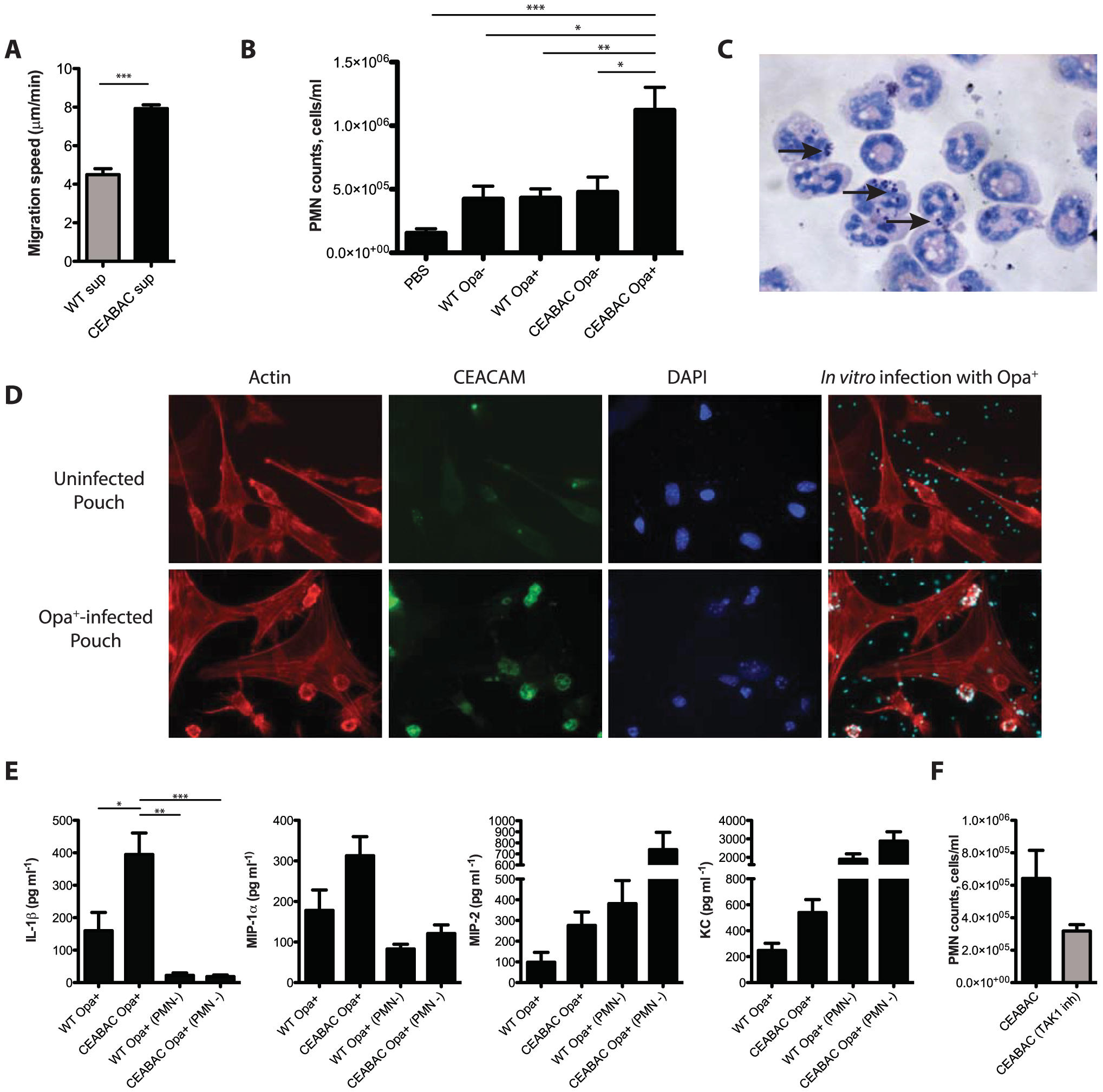 CEACAM binding stimulates the inflammatory response to <i>N. gonorrhoeae in vivo</i>.