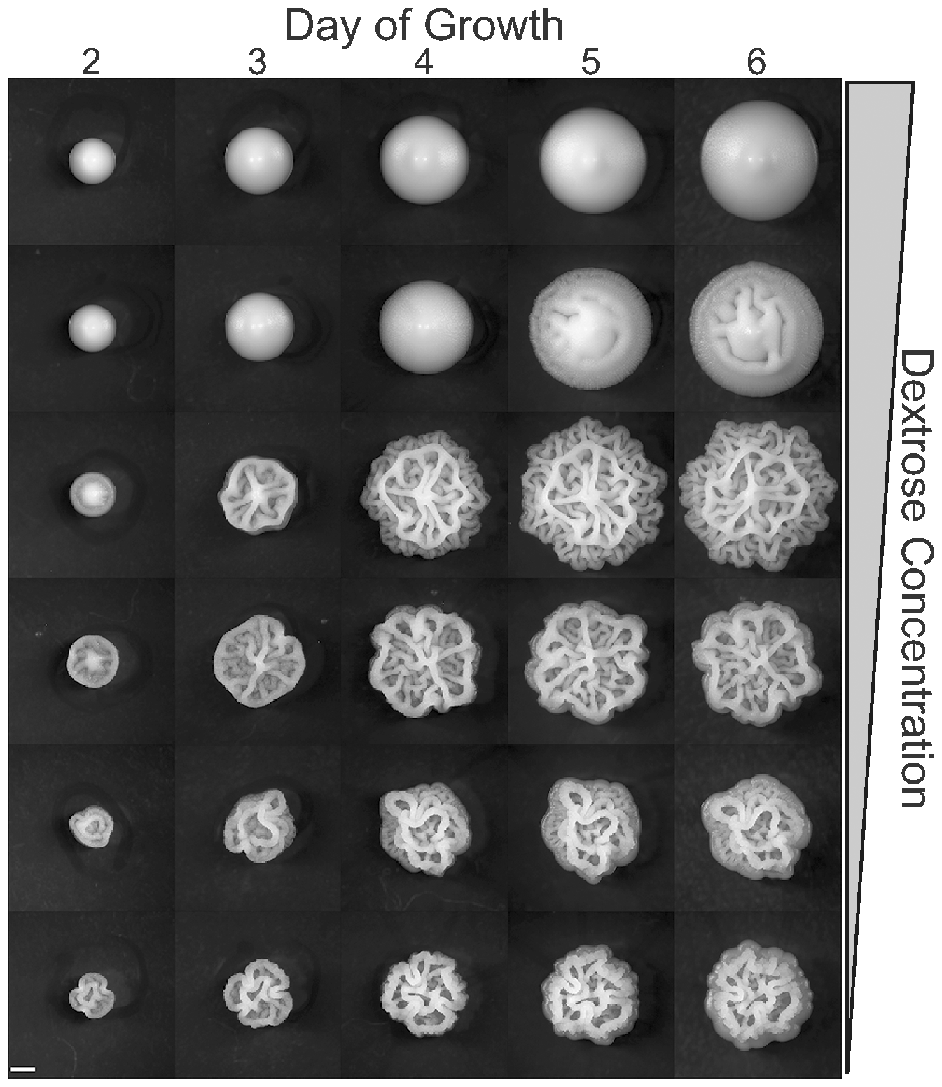 Colony morphology as a function of time and dextrose concentration.