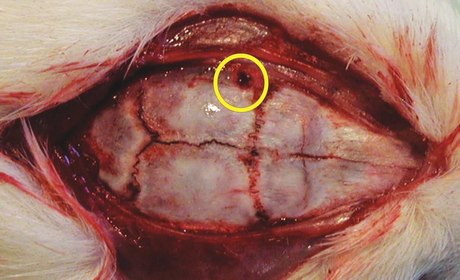 Lebka potkana s návrtem pro čidlo intrakraniálního tlaku v žlutém kruhu
