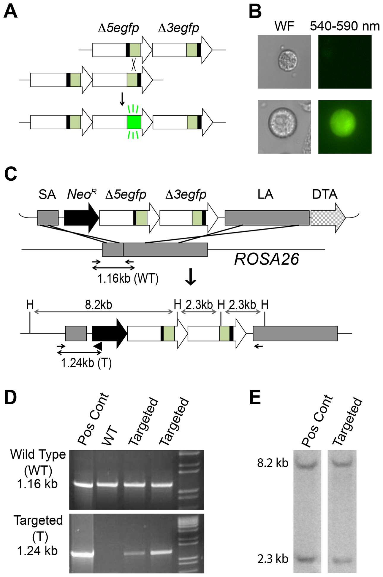 Targeted integration of the RaDR-GFP HR substrate.