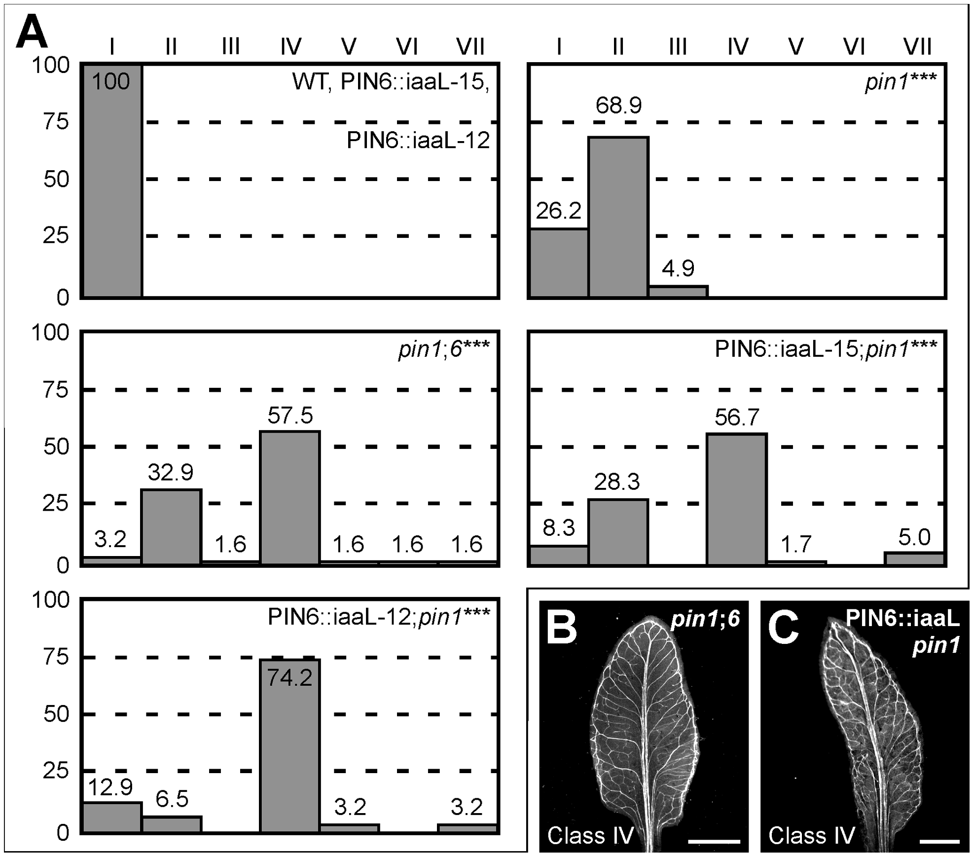 Control of <i>PIN1</i>-dependent vein patterning by intracellular auxin levels.