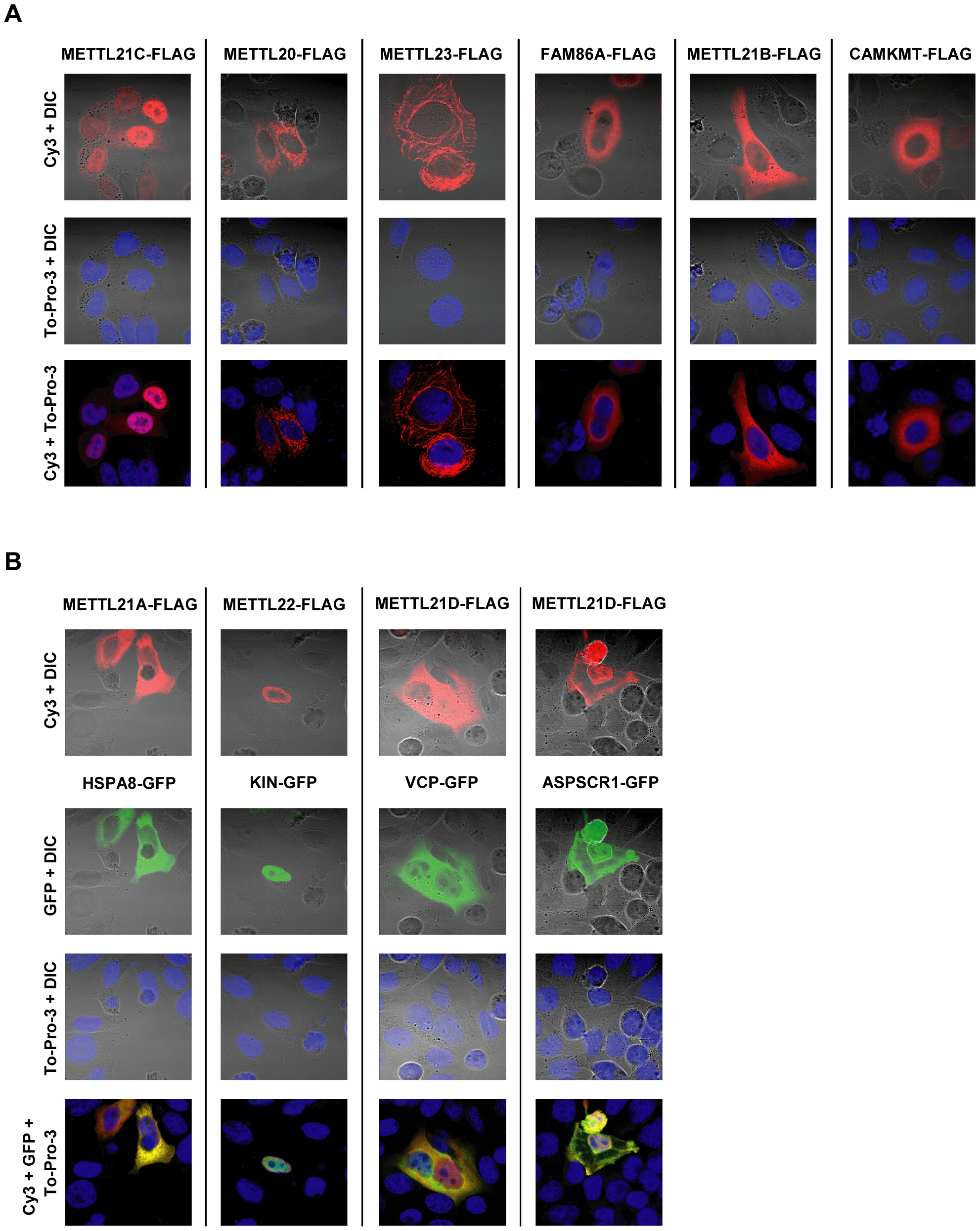 Intracellular distribution of putative methyltransferases and colocalization with identified substrates as shown by immunofluorescence.