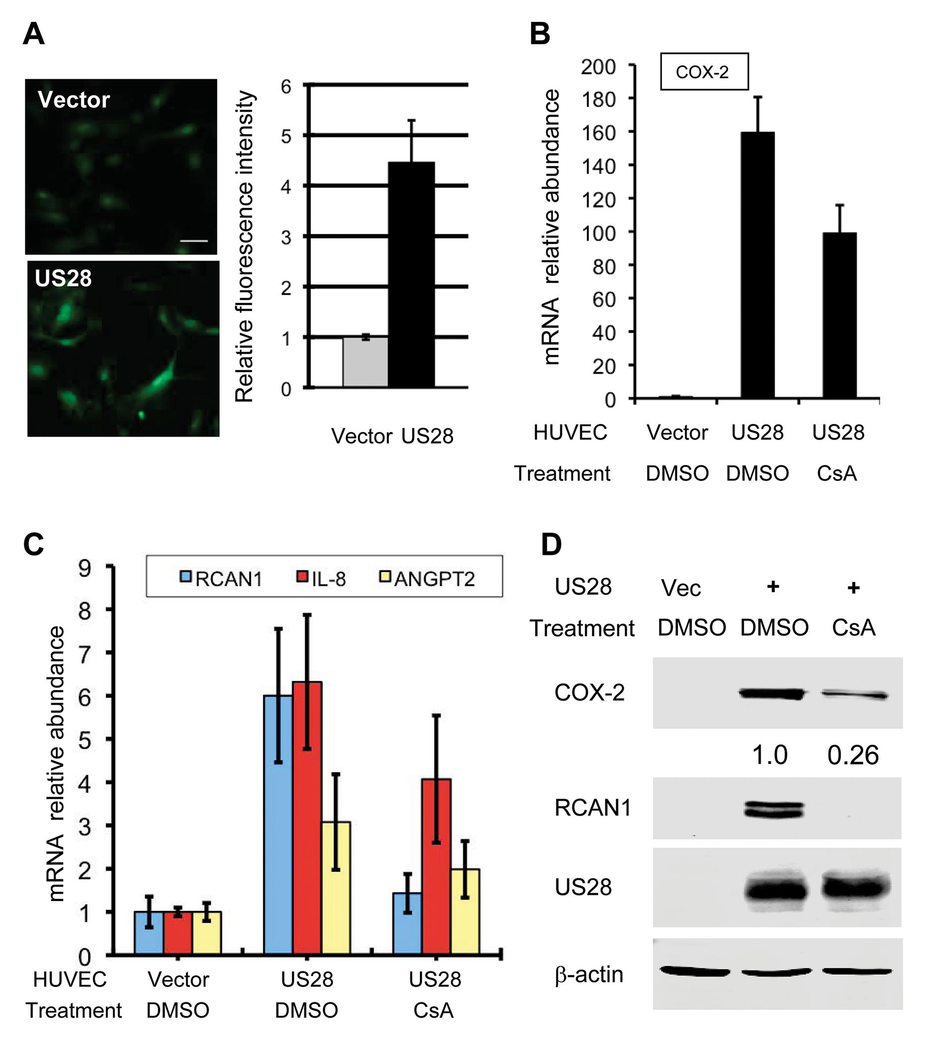 HCMV US28 activates the NFAT signaling cascade.