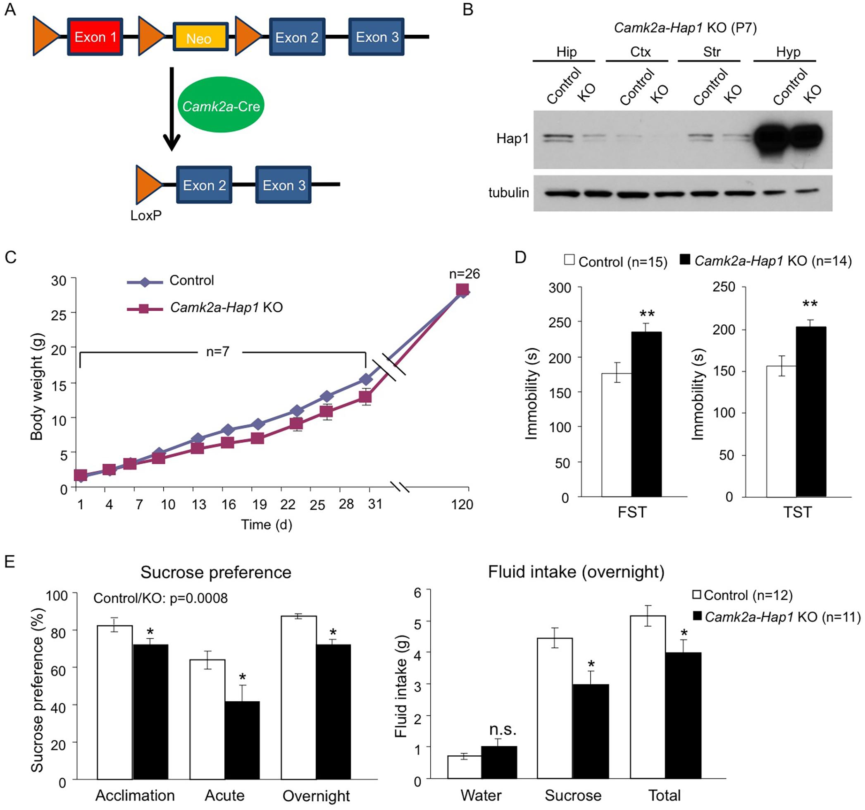 <i>camk2a-Hap1</i> conditional KO mice also display adult depressive-like behavior.