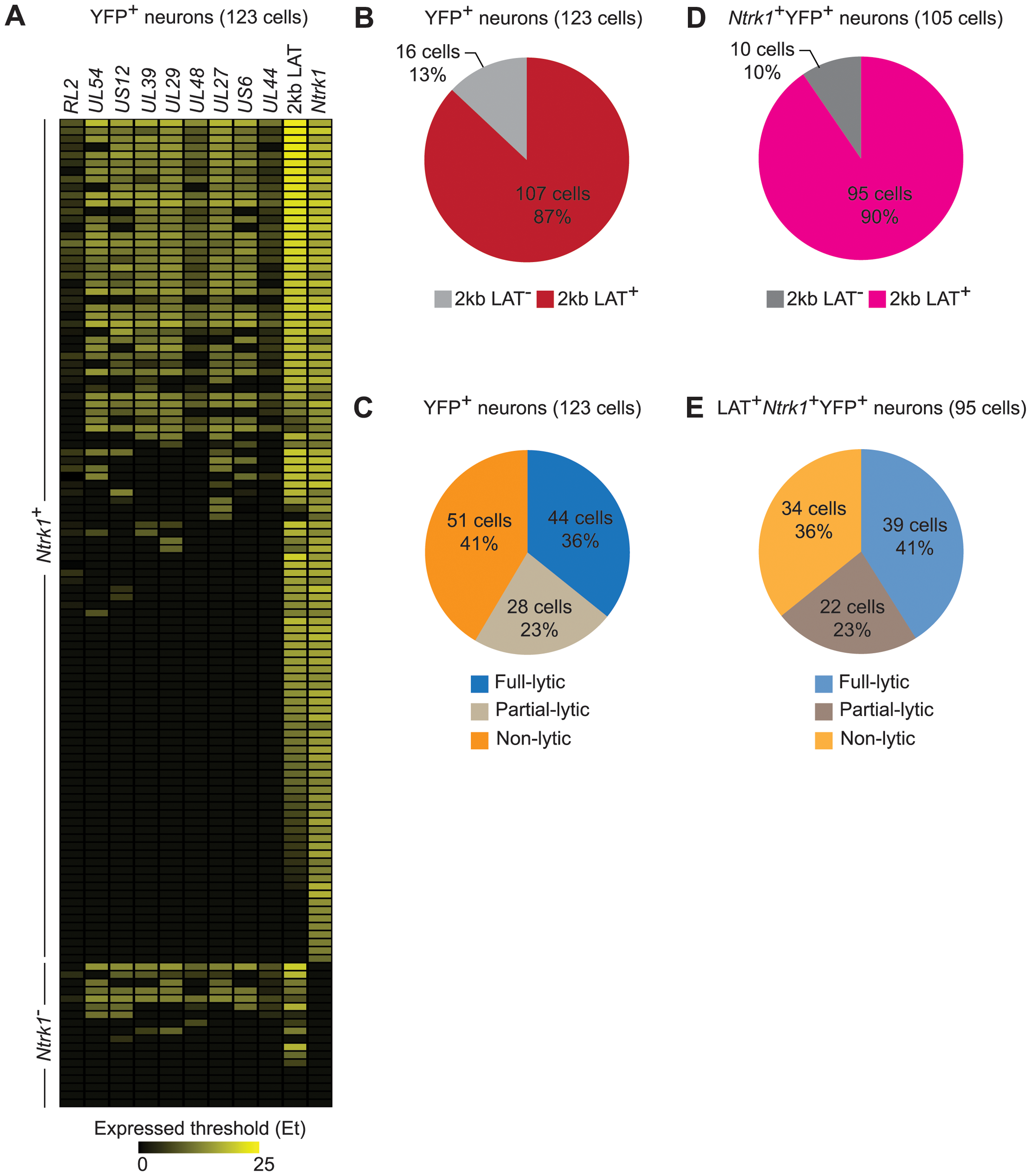 HSV gene expression in individual neurons during latency.