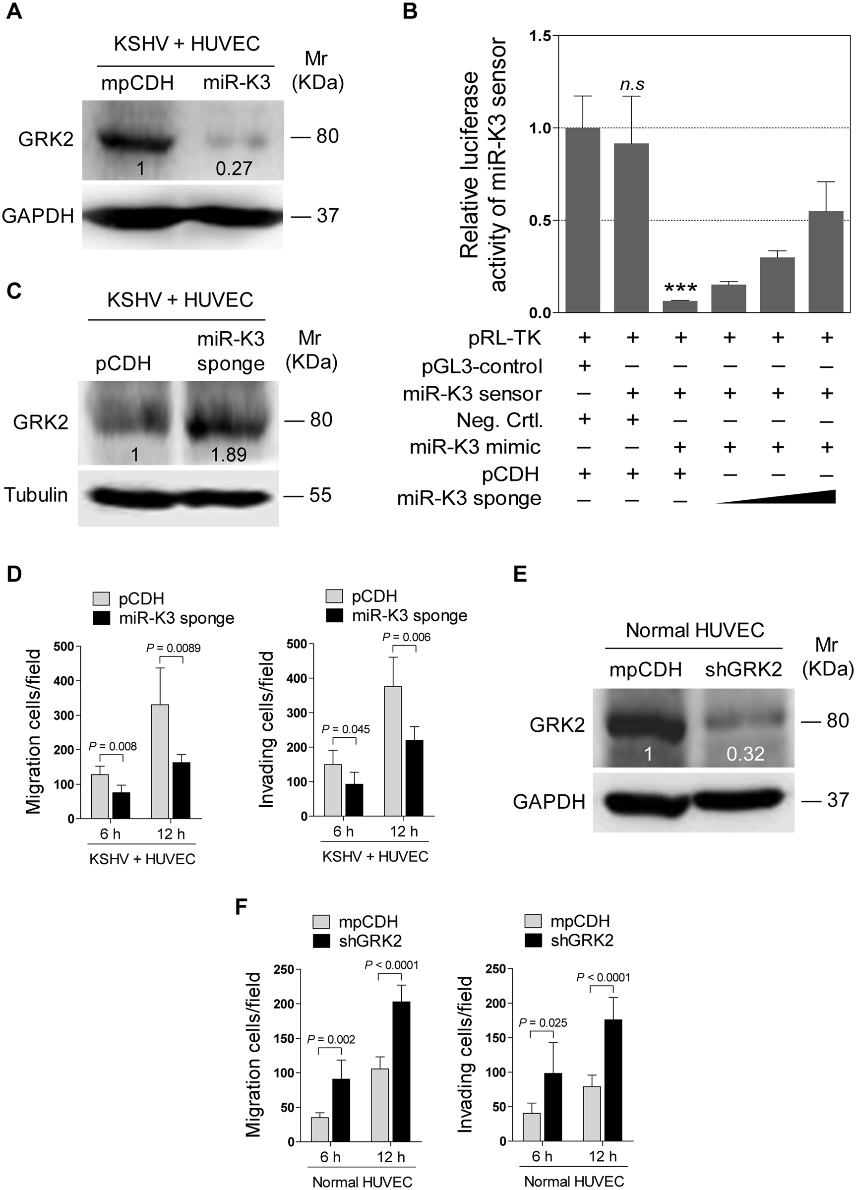 KSHV infection promotes endothelial cell migration and invasion through miR-K3 by targeting GRK2.