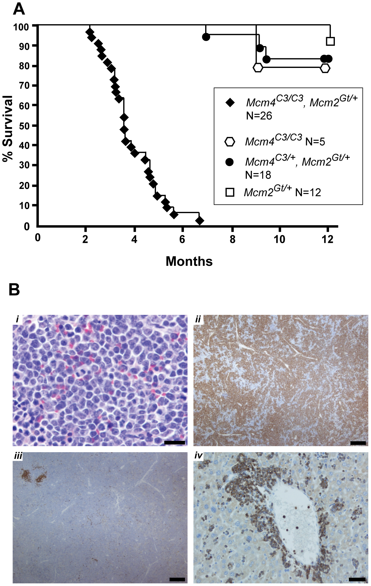 Premature morbidity and cancer susceptibility in <i>Mcm4<sup>Chaos3/Chaos3</sup> Mcm2<sup>Gt/+</sup></i> mice.