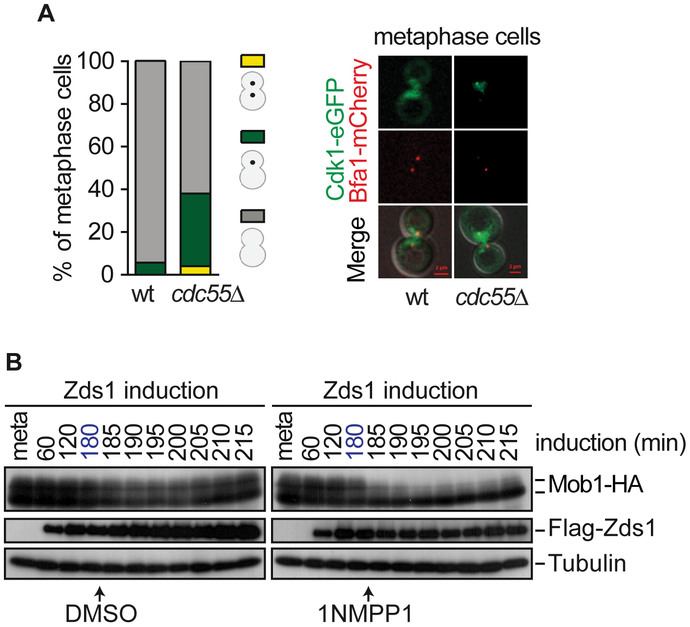 Cdk1– Clb2 inhibitory signal restrains MEN activation until anaphase.
