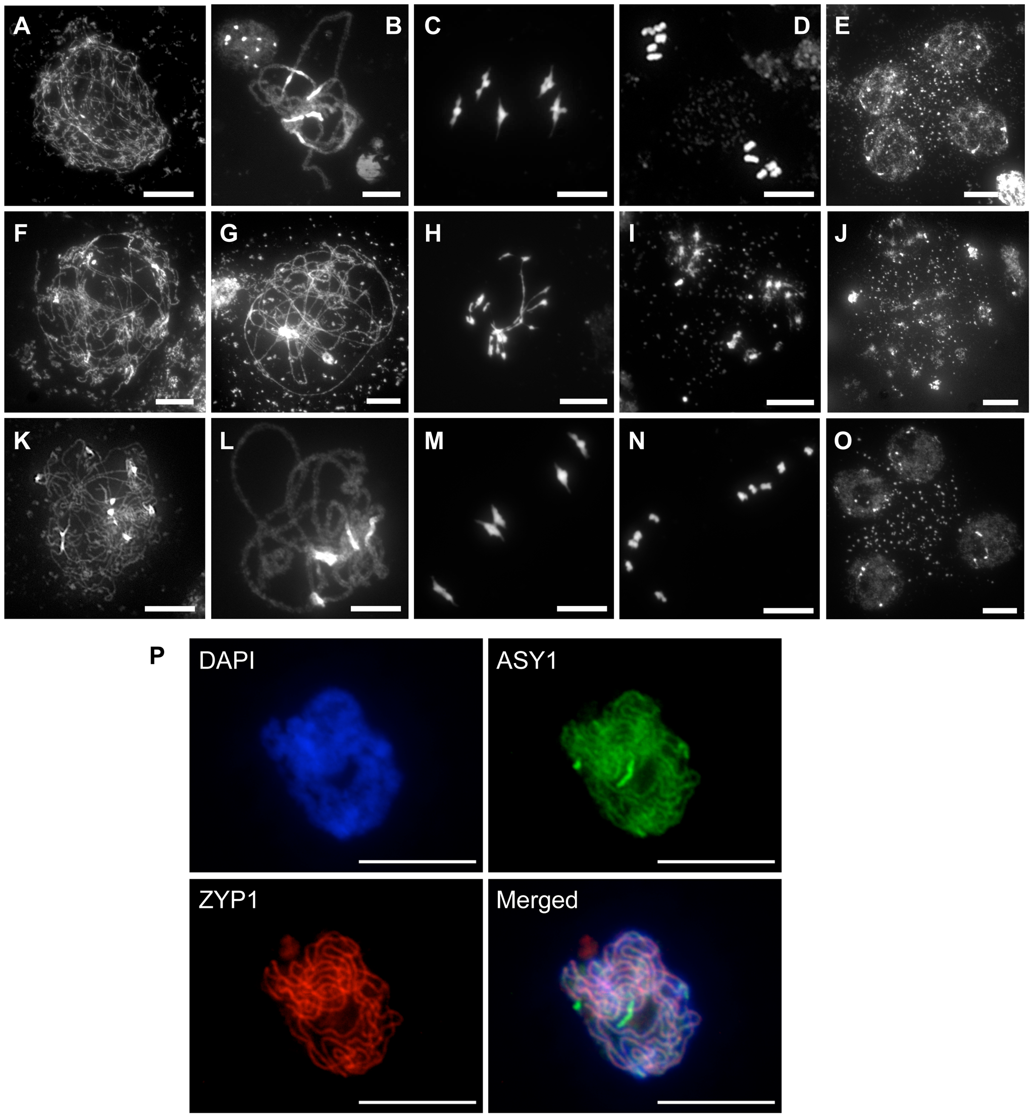 Progression of meiosis in WT (A to E), <i>rad51/rad51</i> (F to J) and <i>rad51/rad51</i> plants expressing the RAD51-GFP fusion protein (K to O).