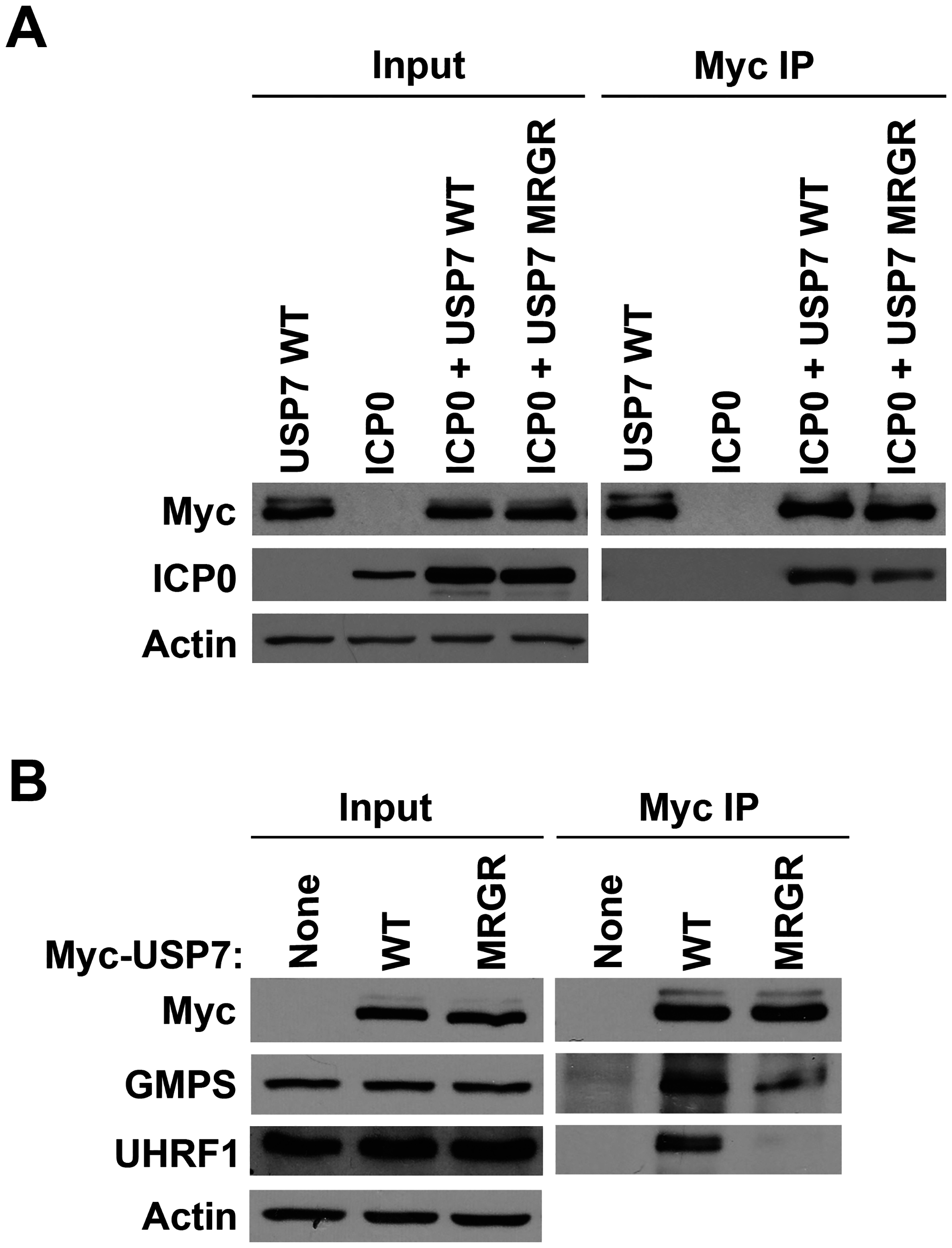 The D762R/D764R (MRGR) mutation disrupts ICP0, GMPS and UHRF1 binding to USP7 in human cells.
