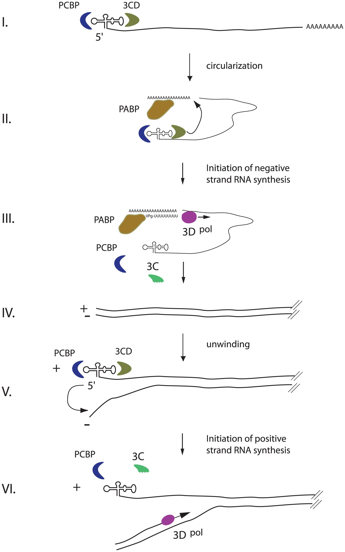An integrated model for enterovirus replication.