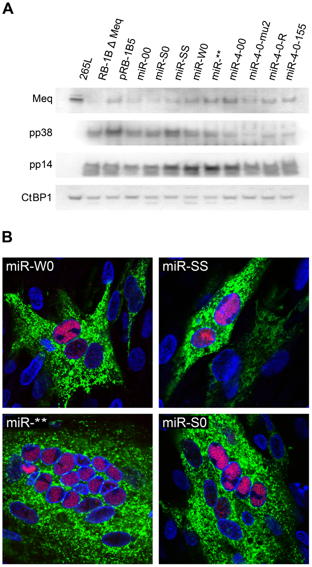 Expression of viral proteins by the mutant viruses.