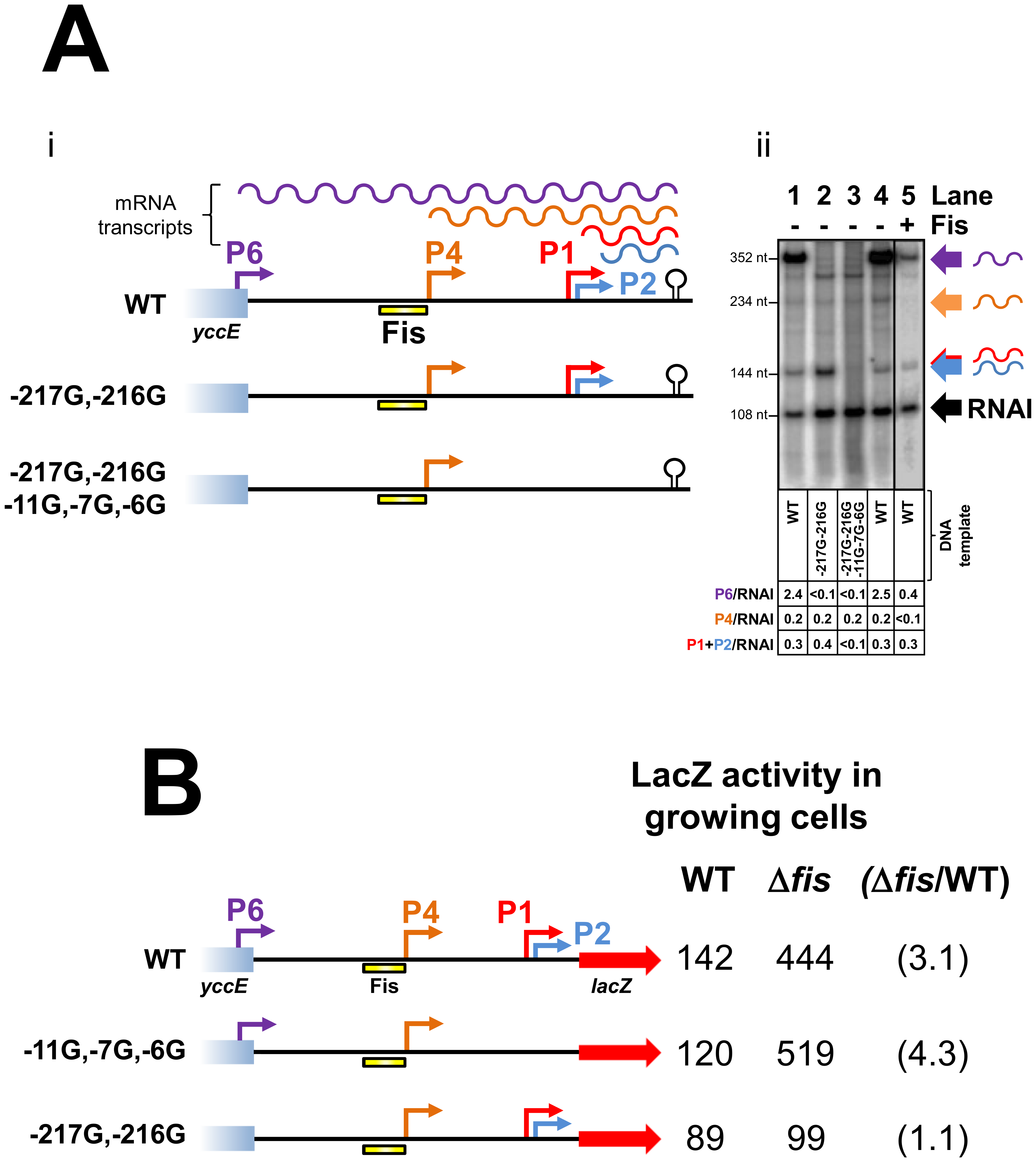 Repression of transcription from the P4 and P6 promoters by Fis.